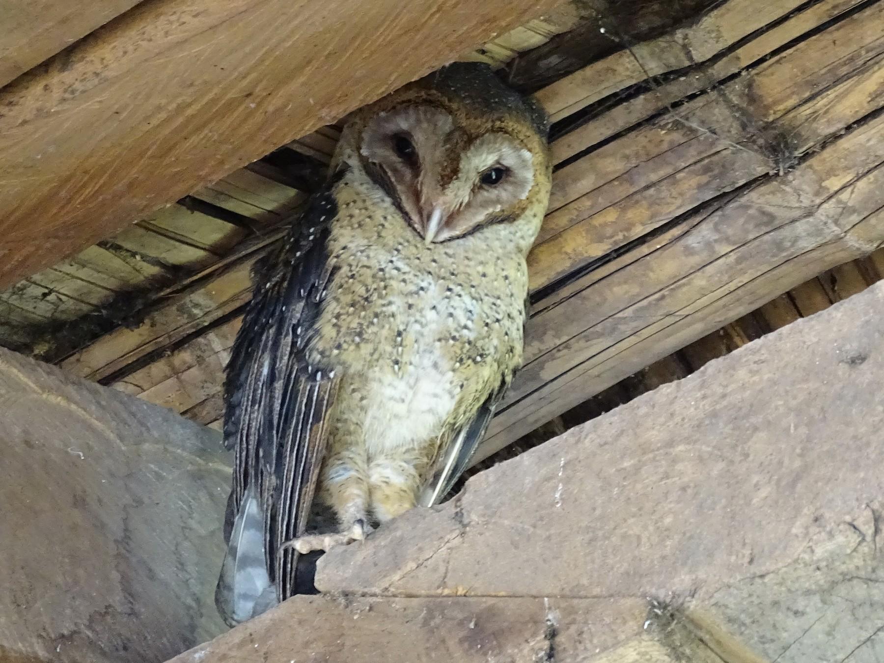 Barn Owl - Claus Holzapfel