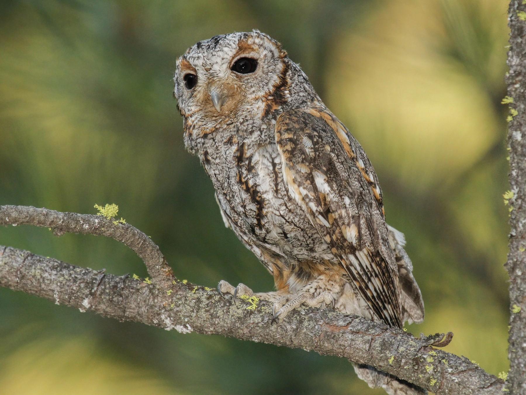Flammulated Owl - James Kennerley 🦄