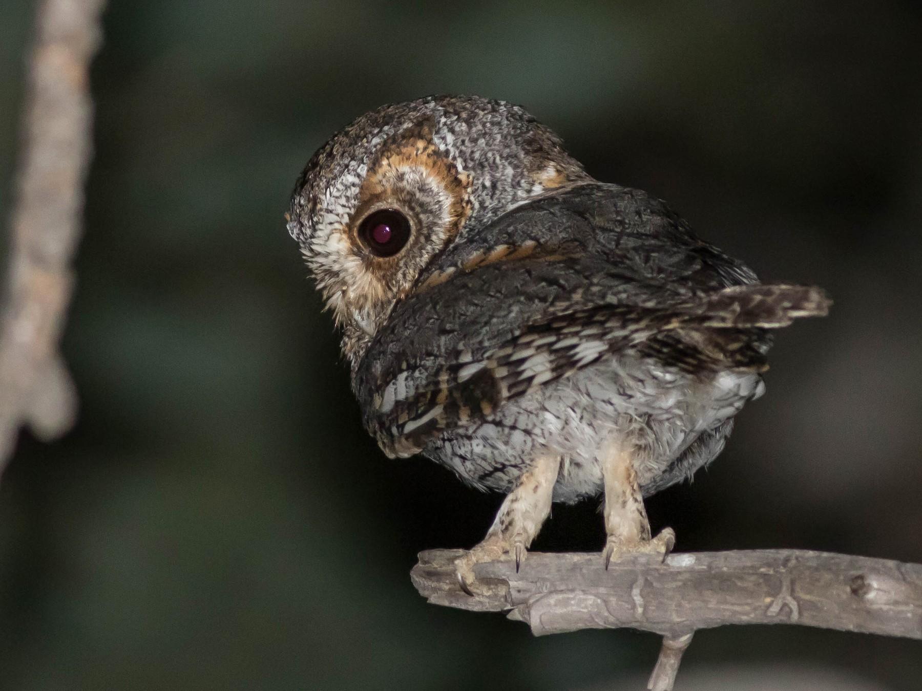 Flammulated Owl - Joachim Bertrands