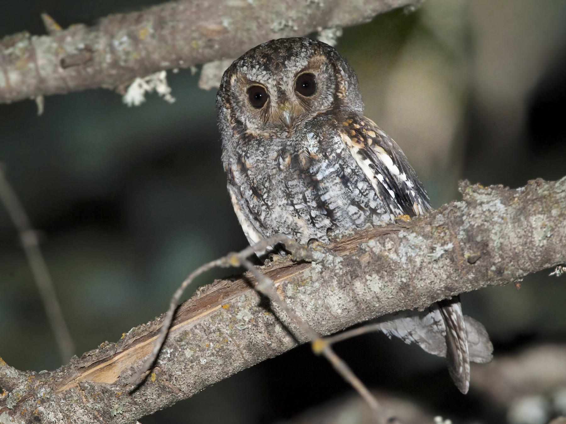 Flammulated Owl - Bryan Calk