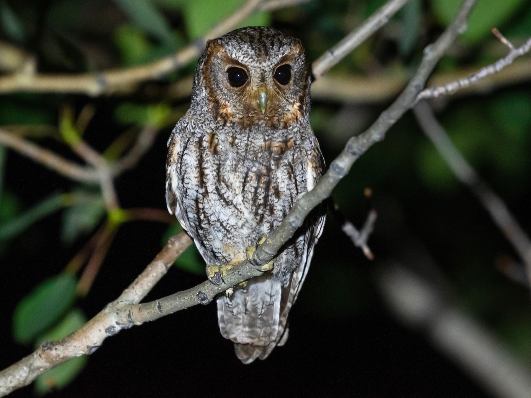 Flammulated Owl - Kyle Matera