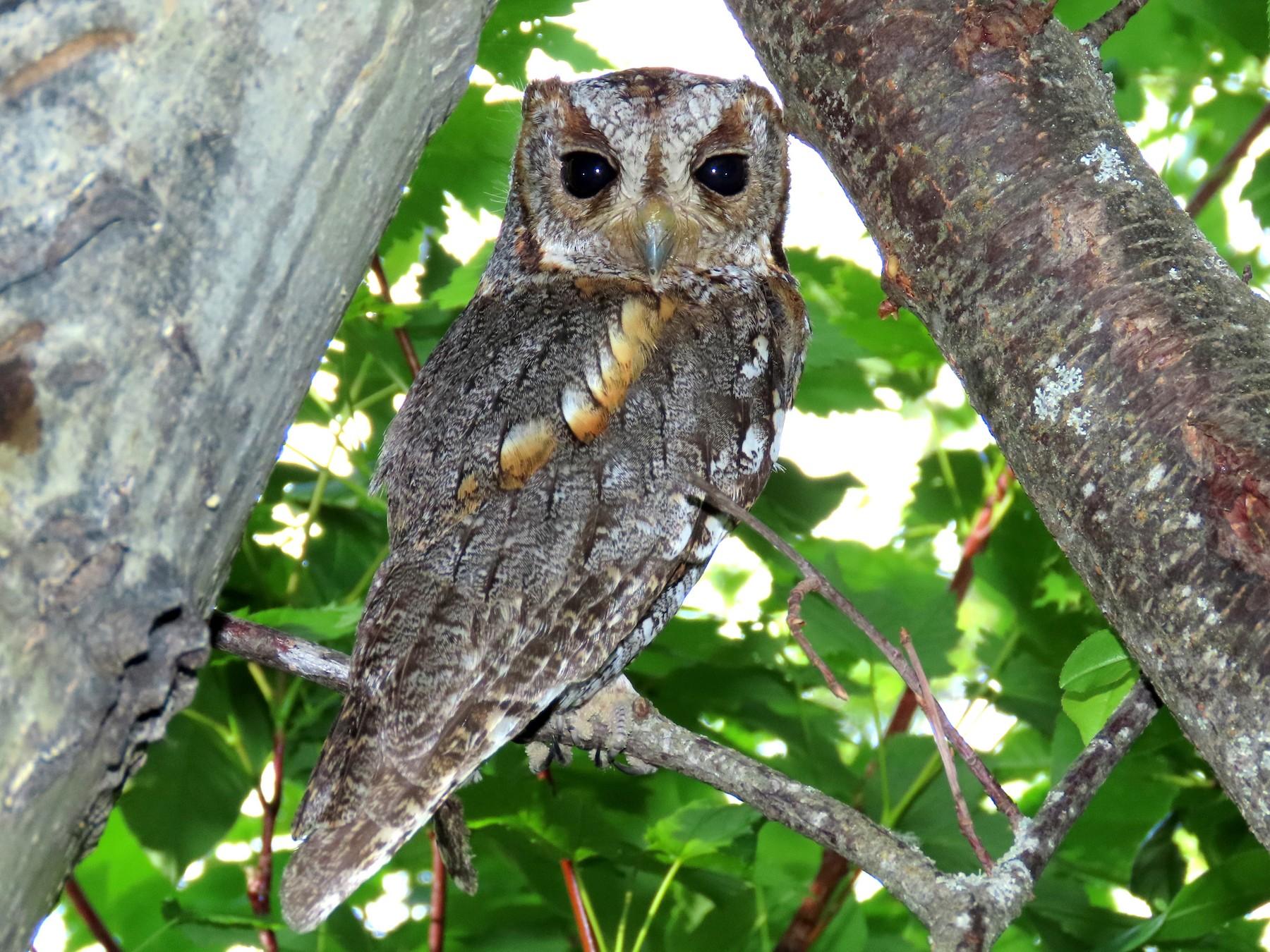Flammulated Owl - Brad  Vissia