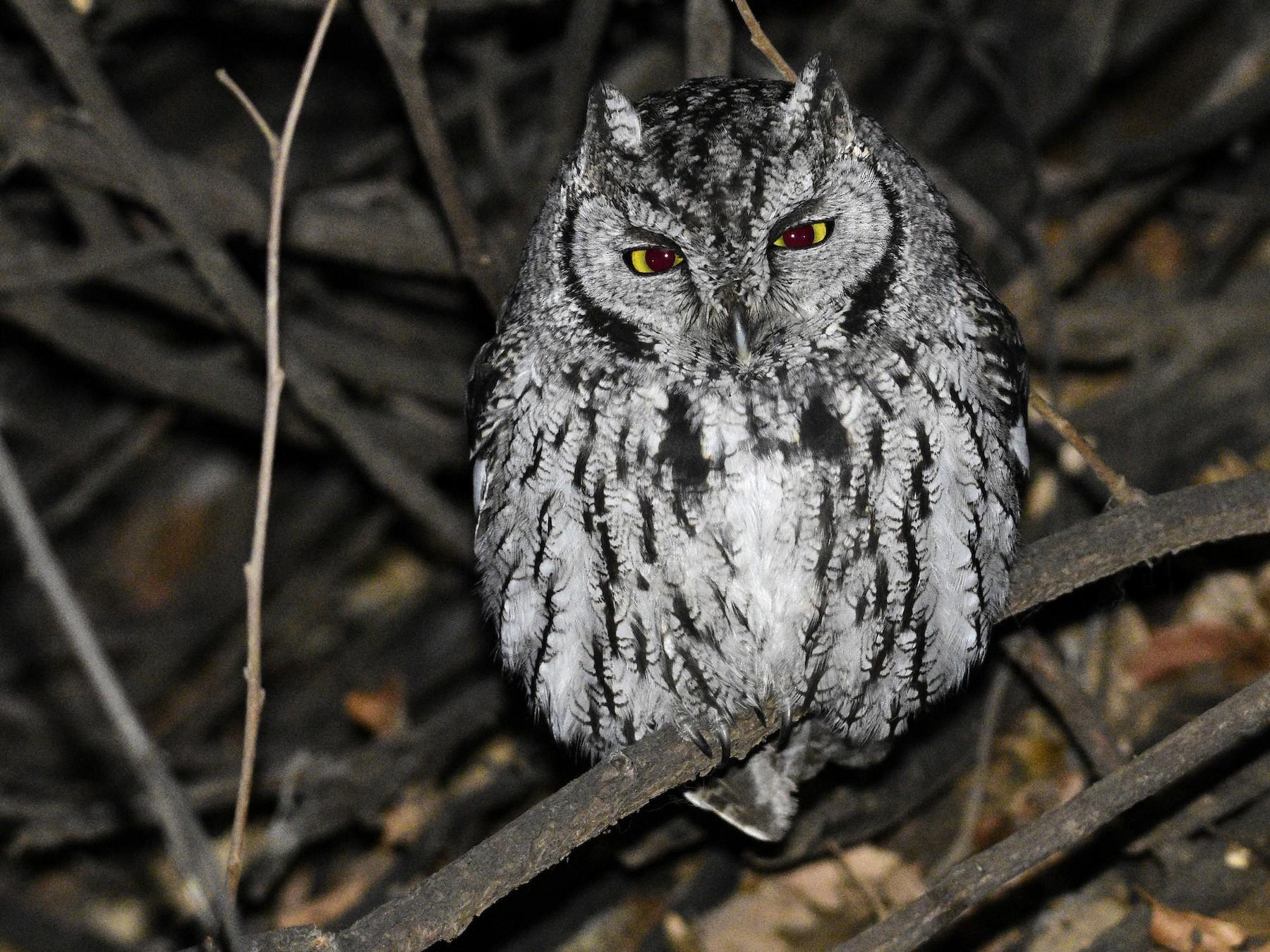 Western Screech-Owl - David Tønnessen