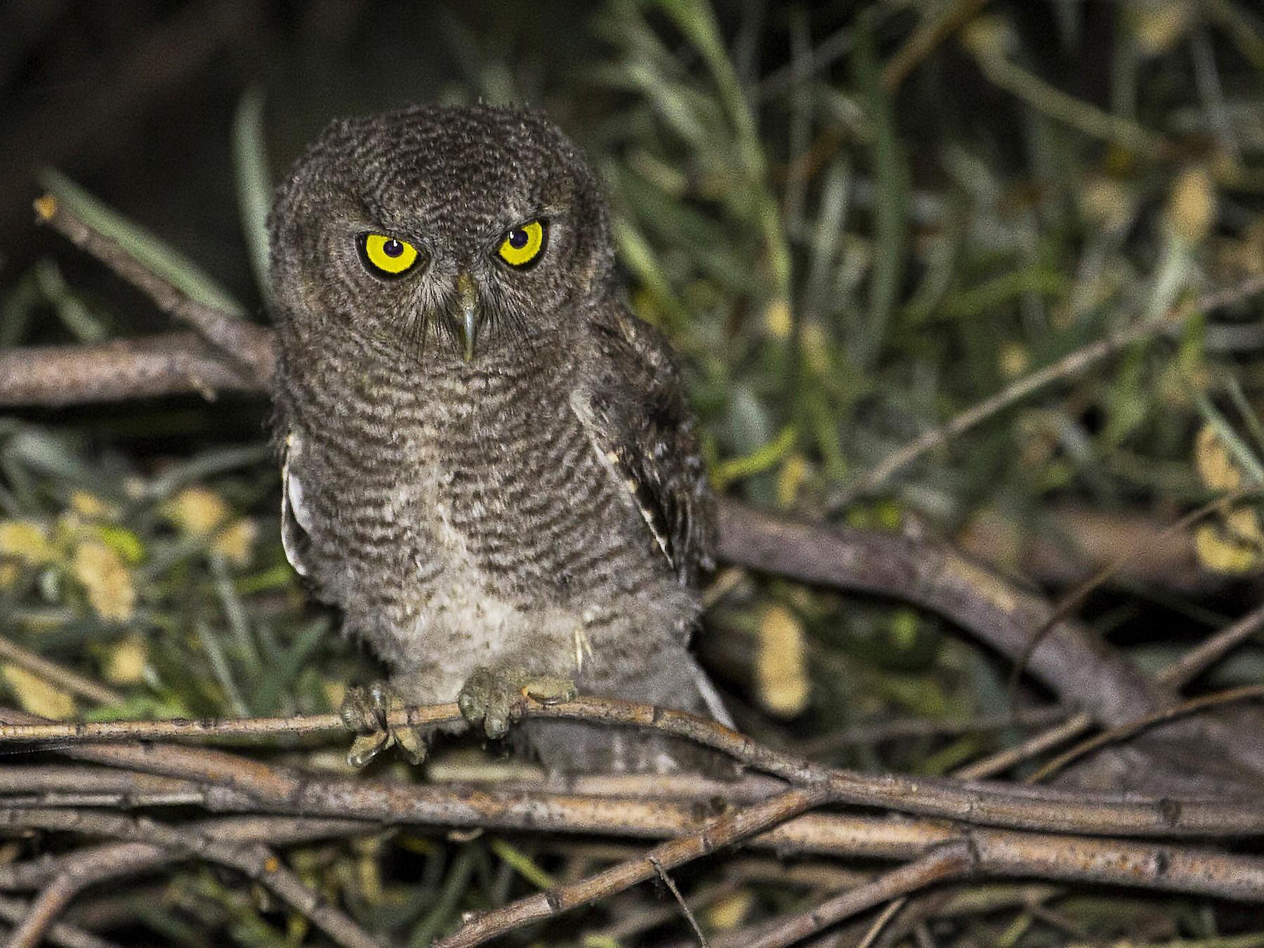 Western Screech-Owl - Janine Schutt