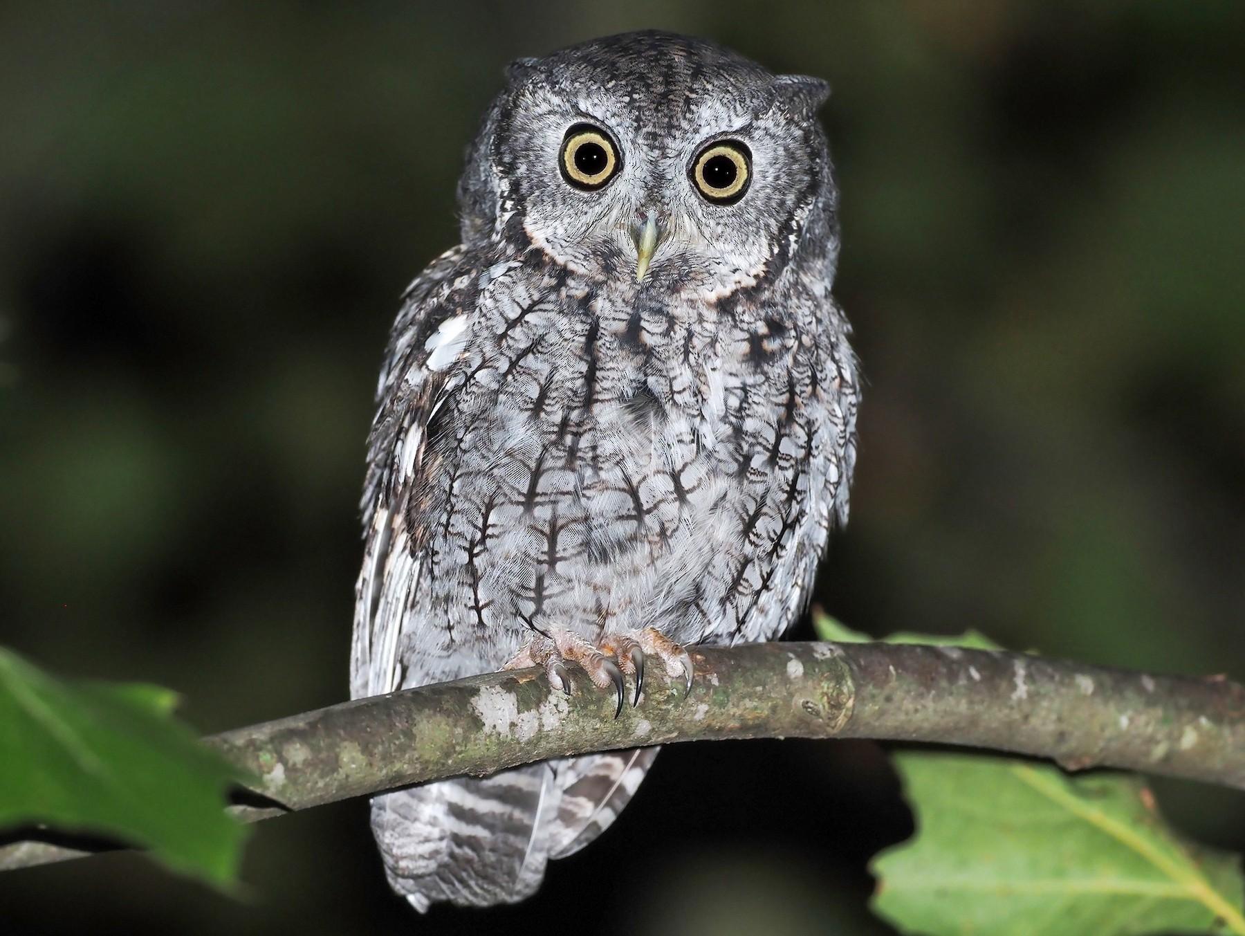 Eastern Screech-Owl - dean anderson