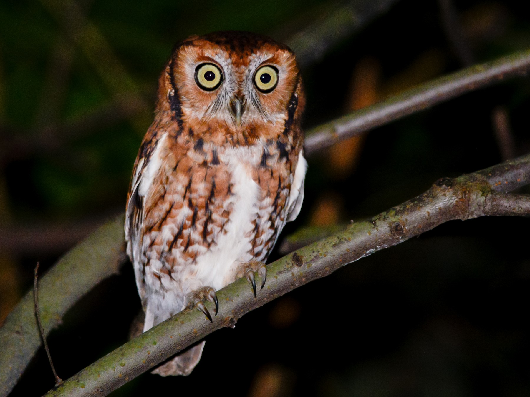 Eastern Screech-Owl - Daniel Irons