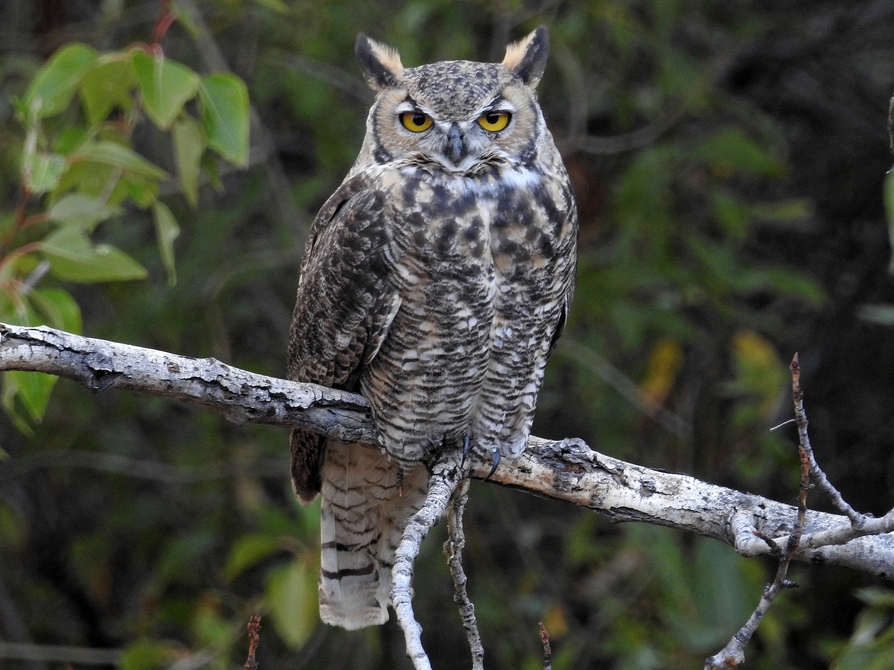 Great Horned Owl - Mary Rumple