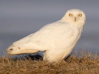 - Snowy Owl