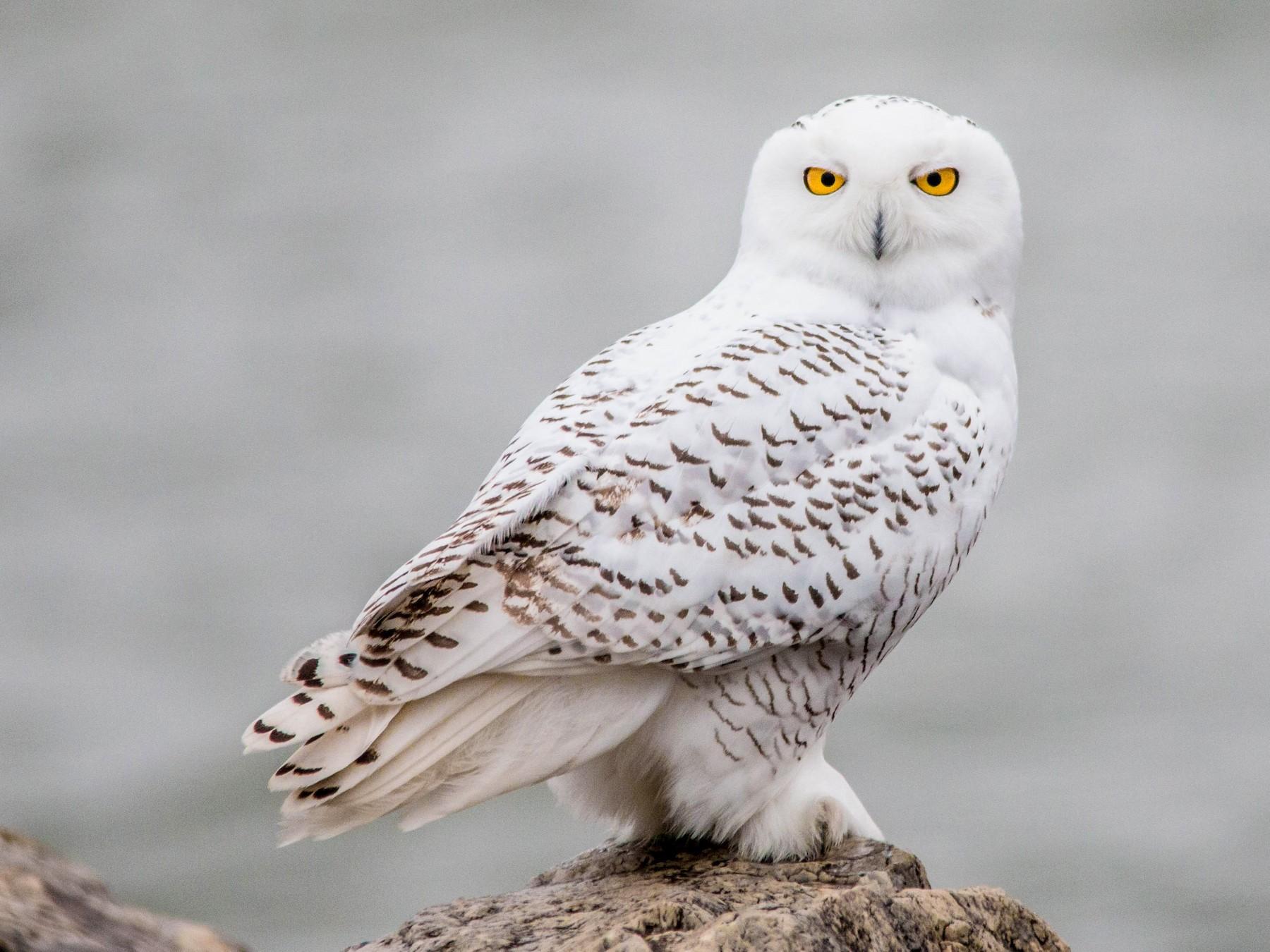 Snowy Owl - Kevin Vande Vusse