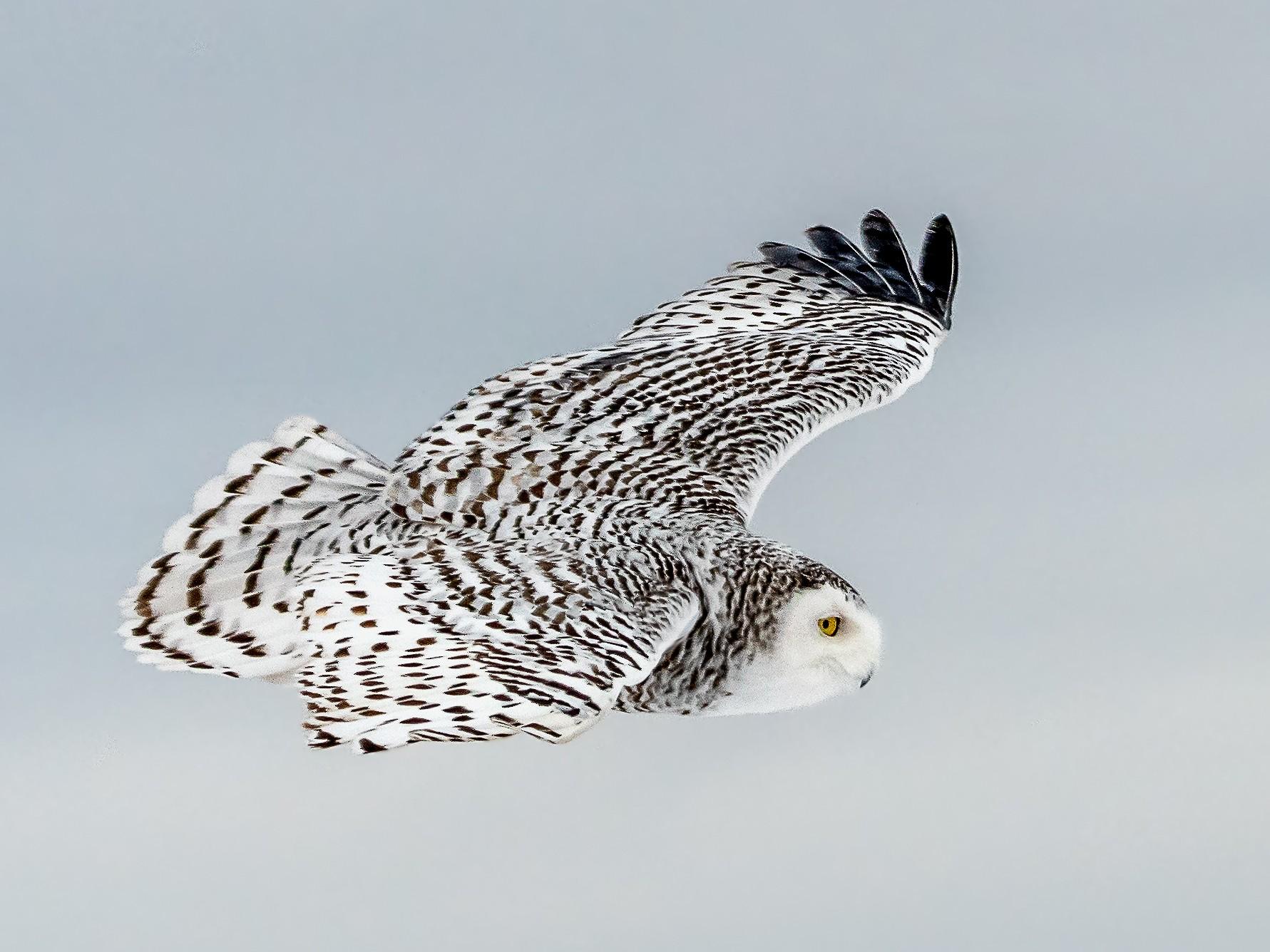 Snowy Owl - Ed Lee
