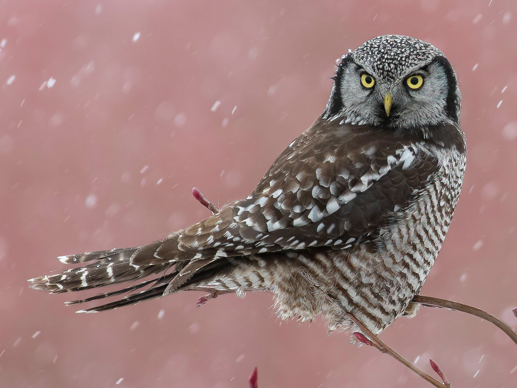 Northern Hawk Owl - Blair Dudeck
