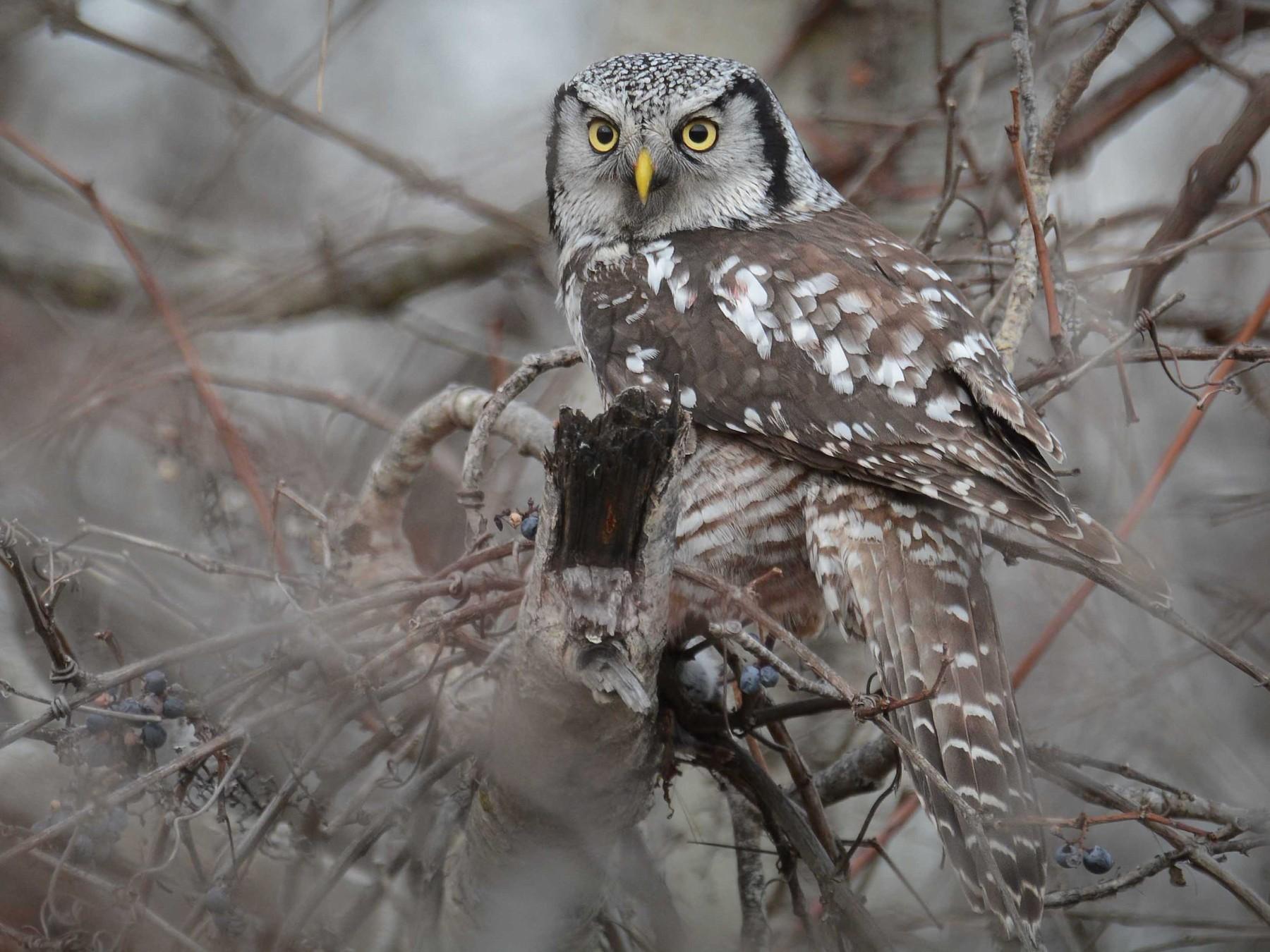 Northern Hawk Owl - Jax Nasimok