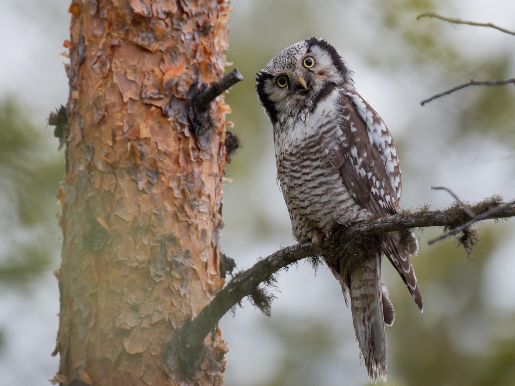 Northern Hawk Owl - Ian Davies