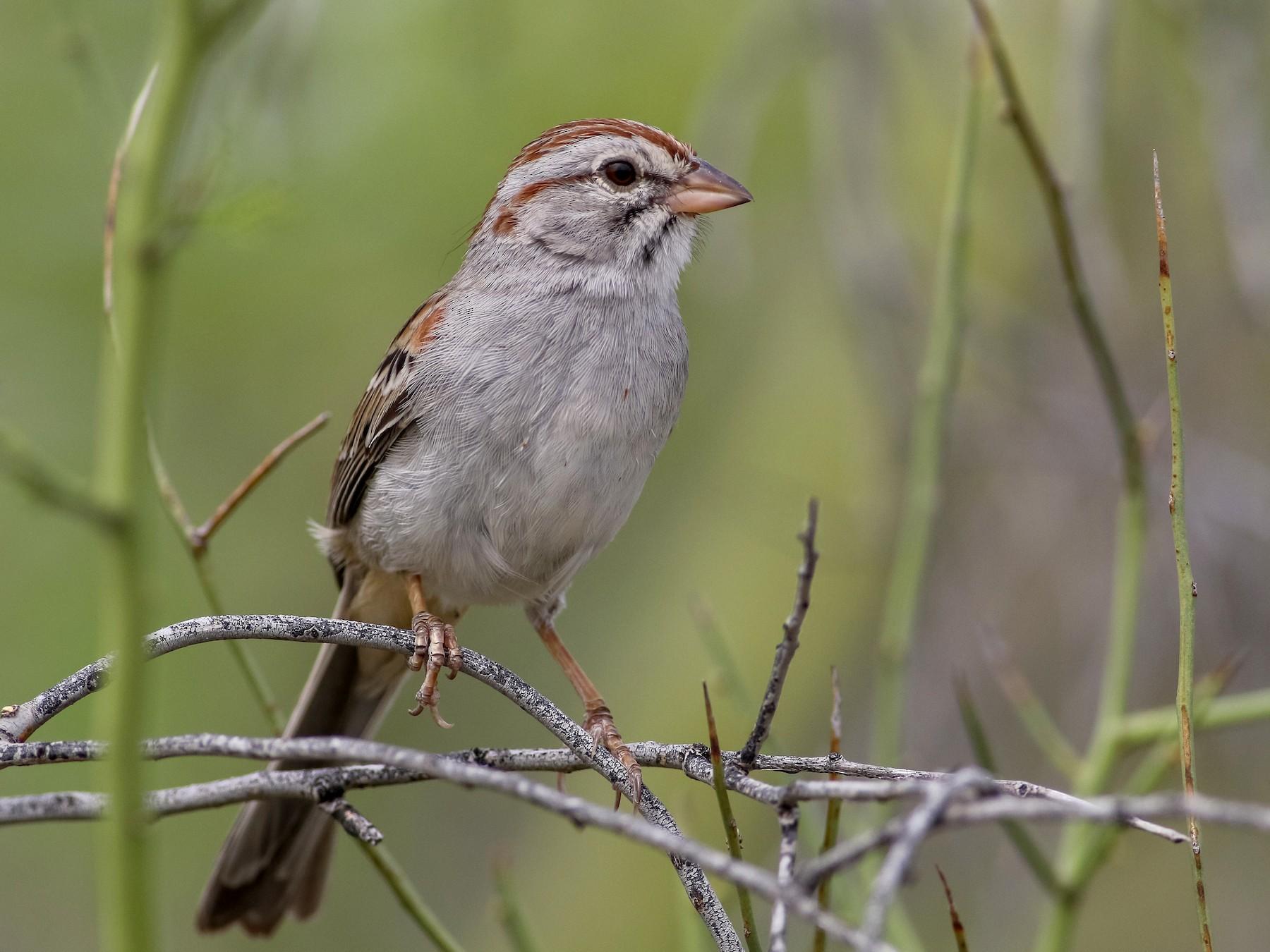 Rufous-winged Sparrow - Max Nootbaar