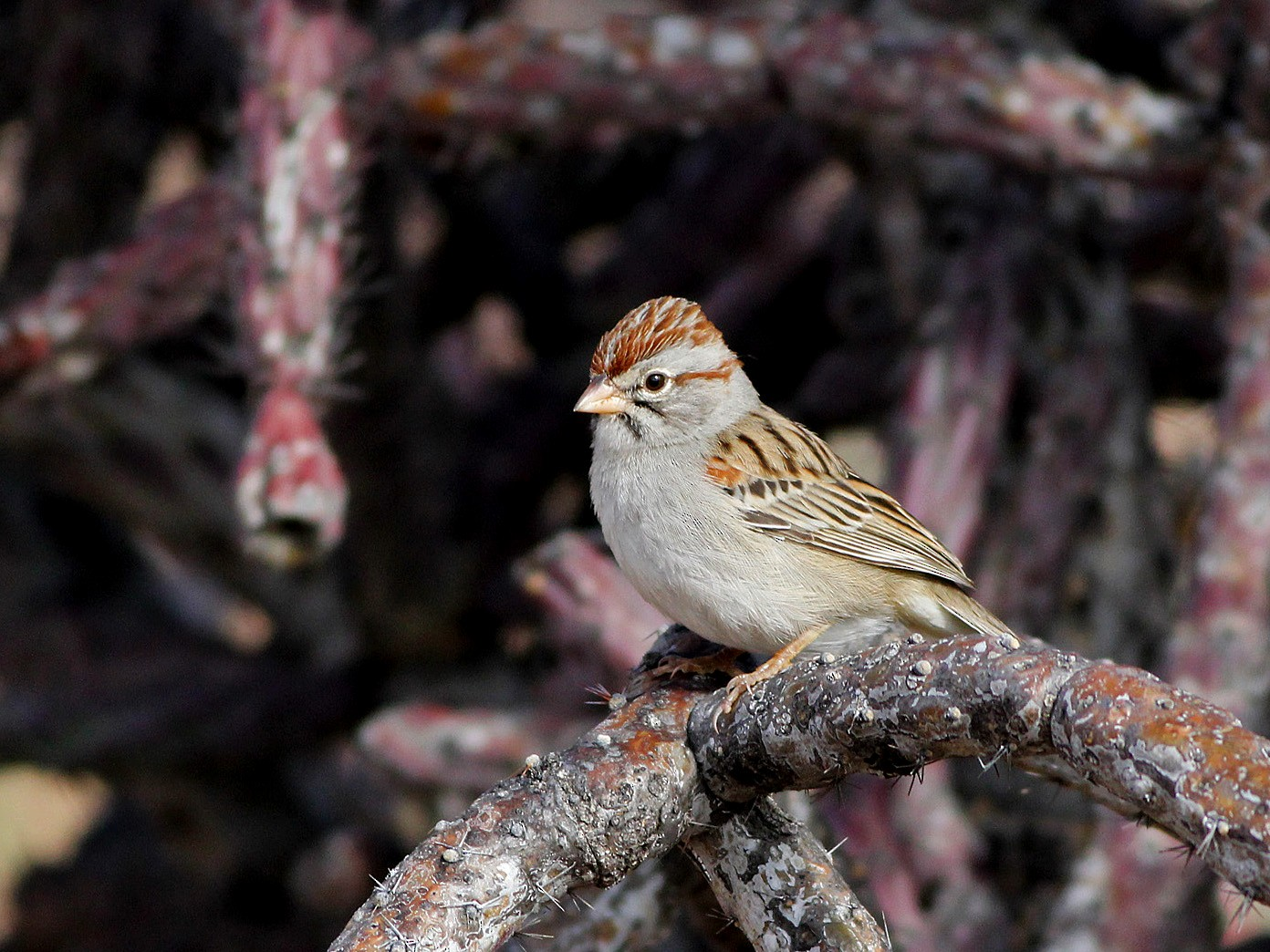 Rufous-winged Sparrow - Scott Olmstead