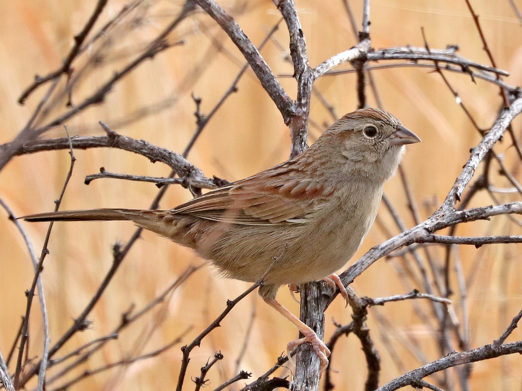 Botteri's Sparrow - ALAN SCHMIERER