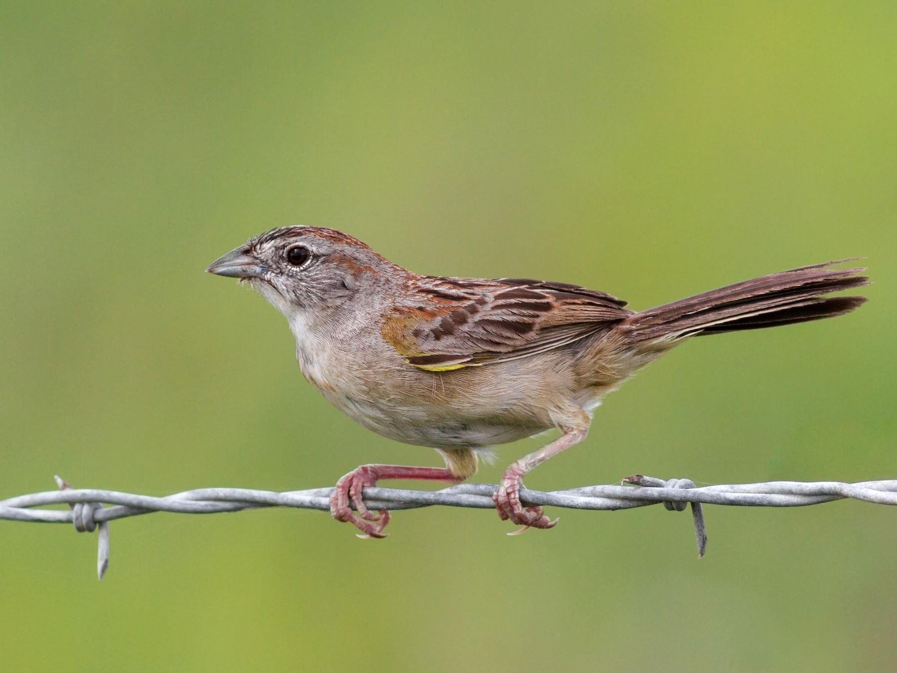 Botteri's Sparrow - Davey Walters