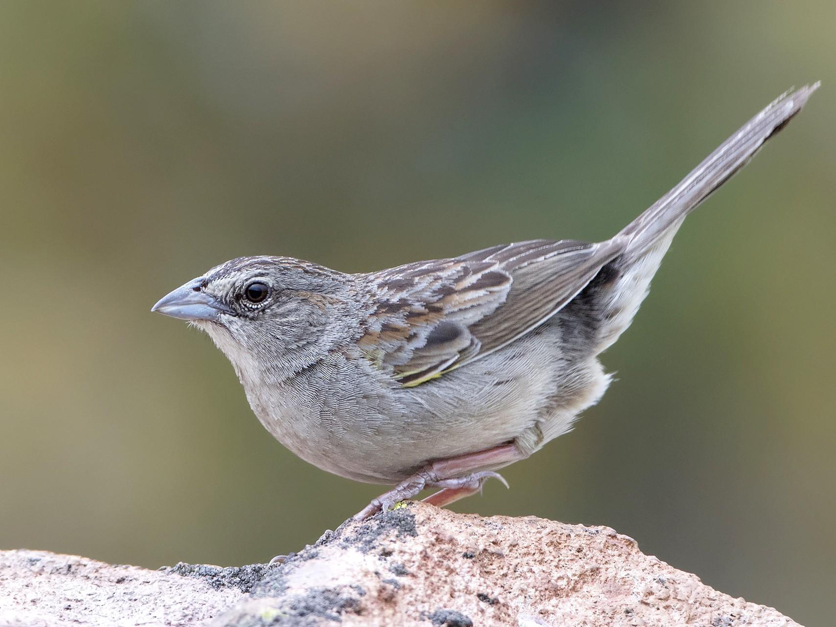 Botteri's Sparrow - Jorge Gabriel Campos