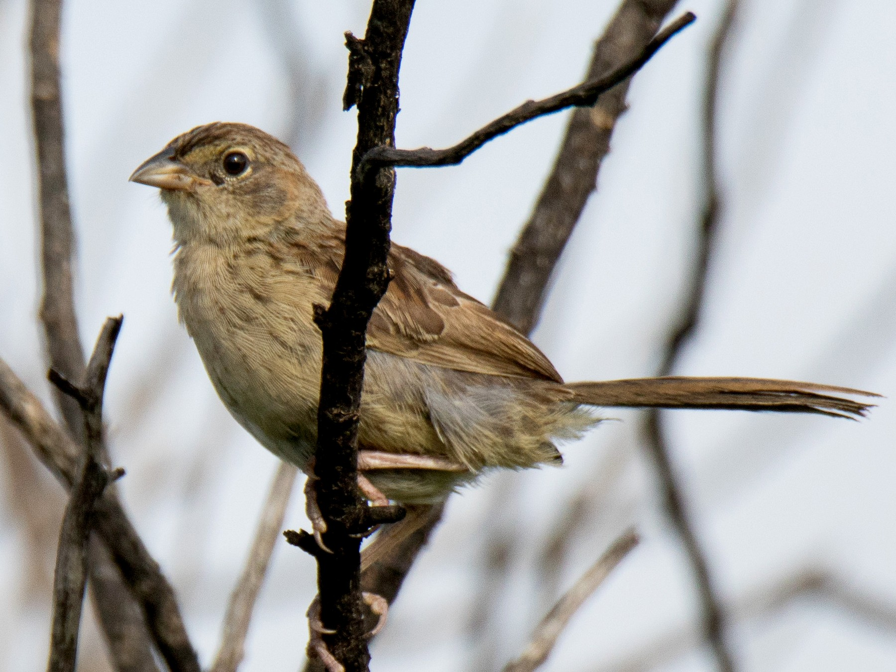 Botteri's Sparrow - Marvin W. Laynes