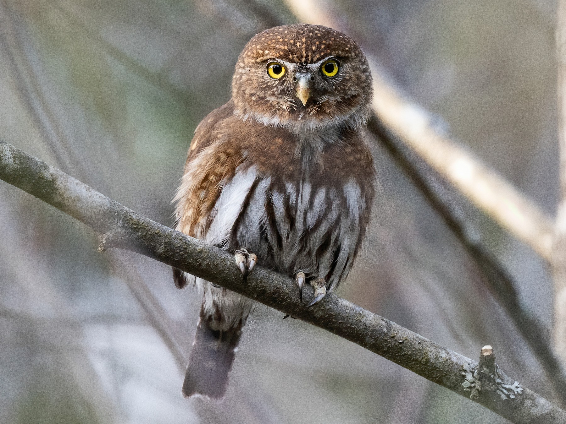 Northern Pygmy-Owl - Blair Dudeck