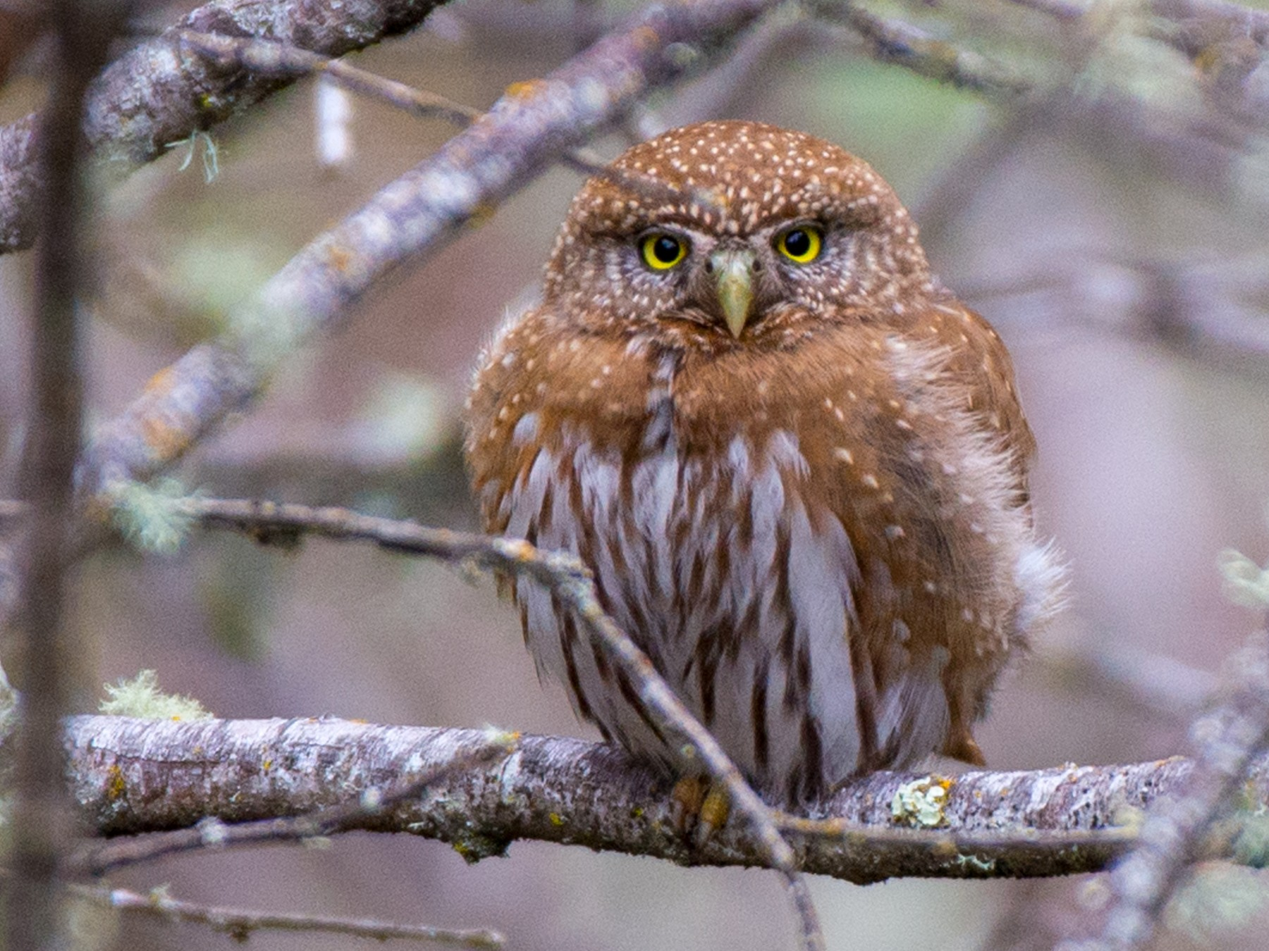 Northern Pygmy-Owl - Herb Elliott