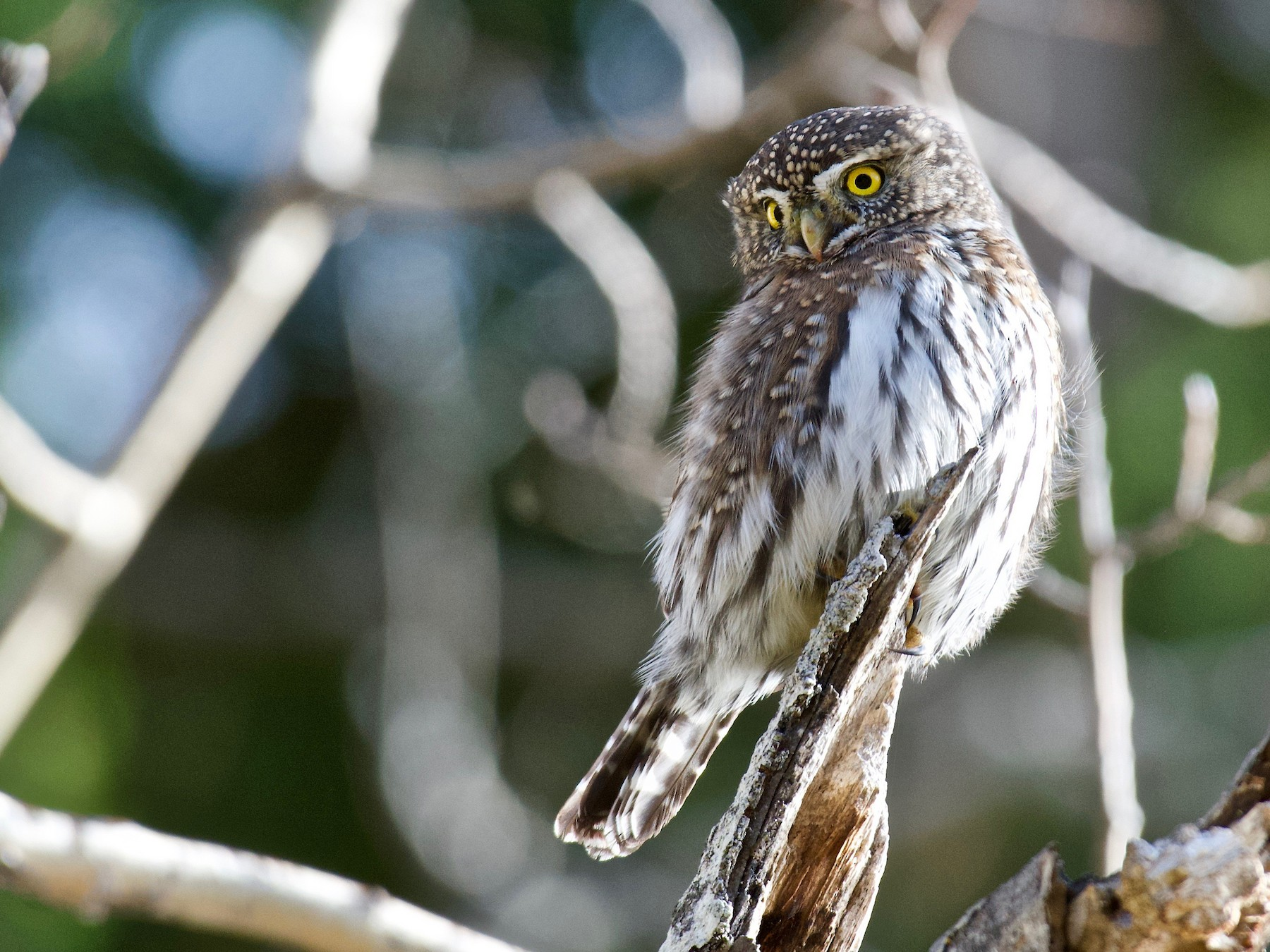 Northern Pygmy-Owl - Jerry McFetridge