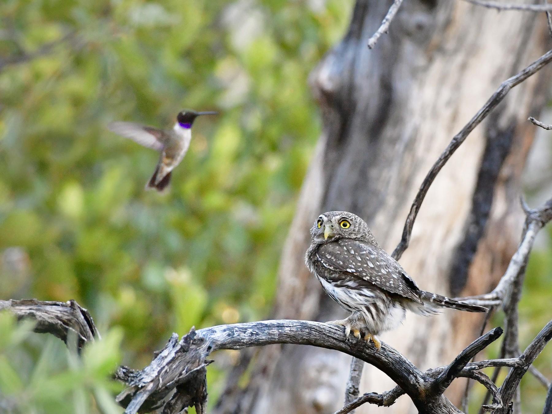 Northern Pygmy-Owl - Bryan Calk
