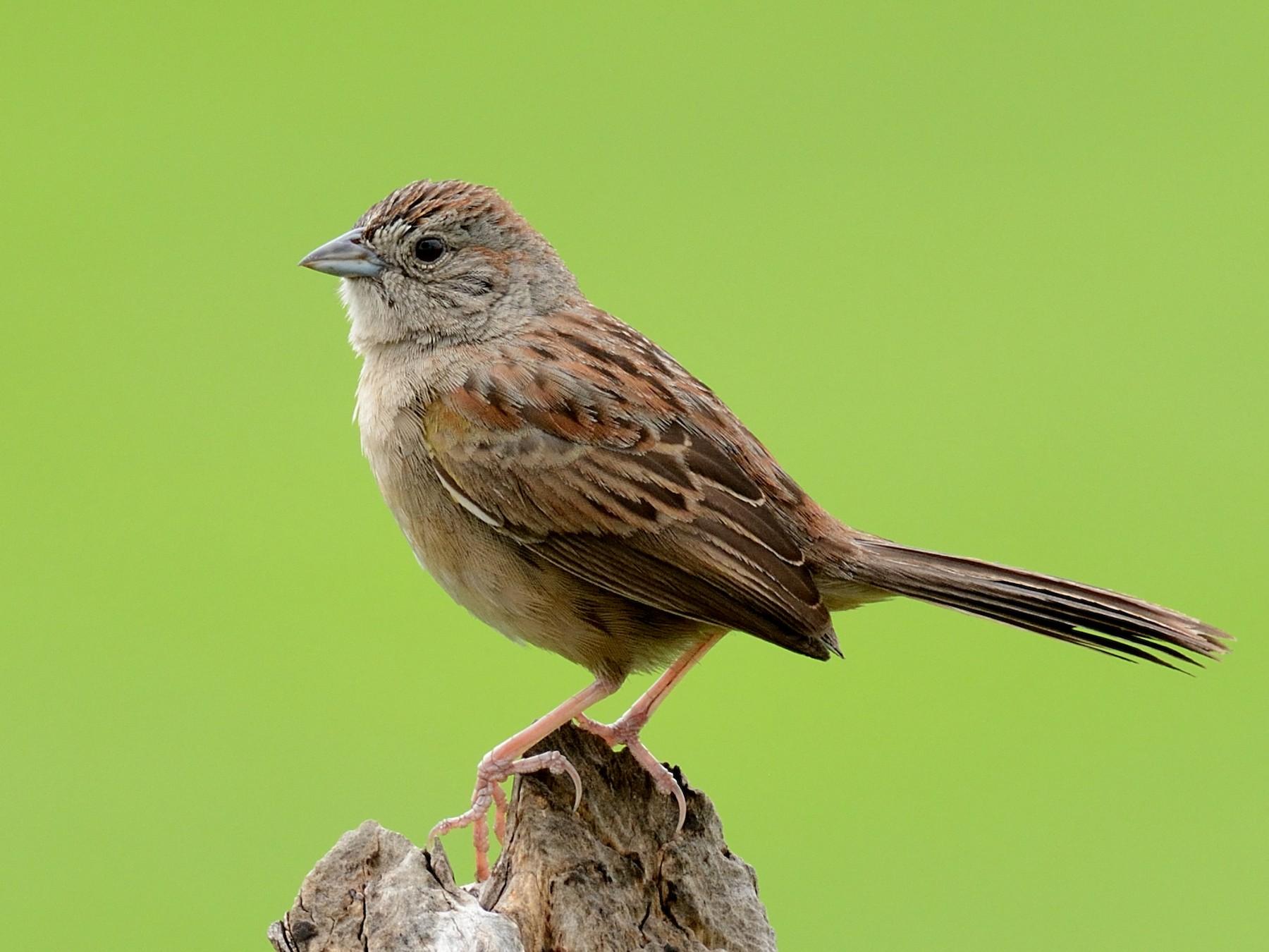 Botteri's Sparrow - Miguel Angel Aguilar (Birdnomad)