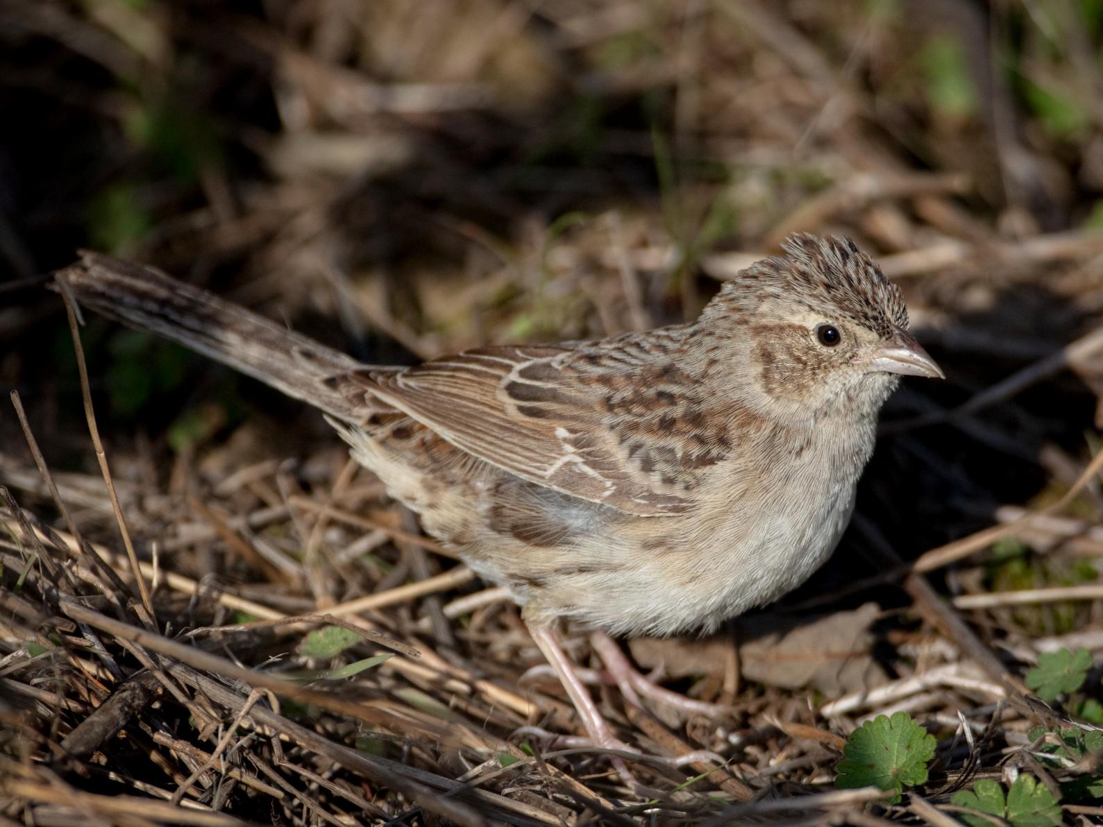 Cassin's Sparrow - Neil Bjorklund