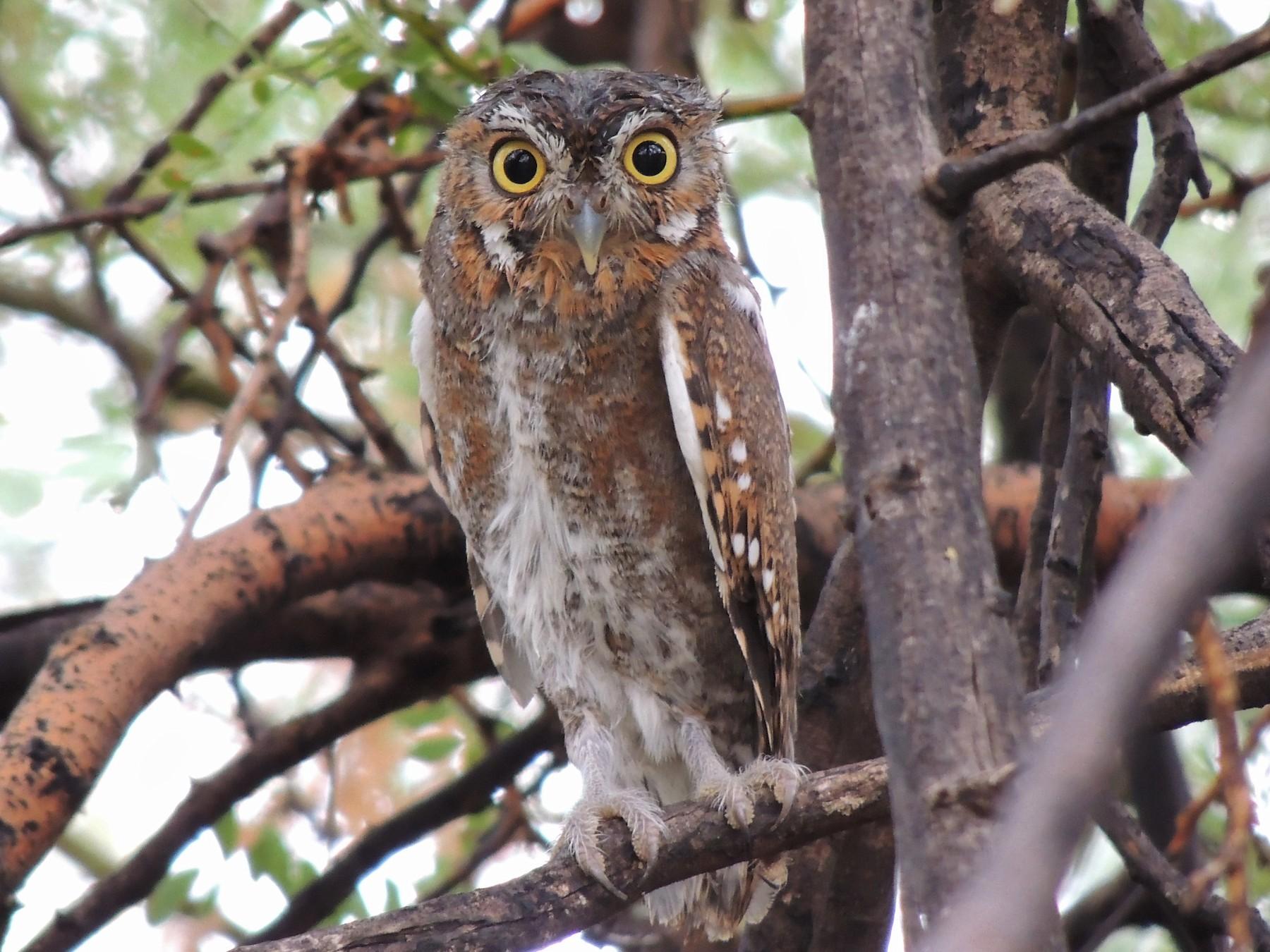 Elf Owl - Jenohn Wrieden