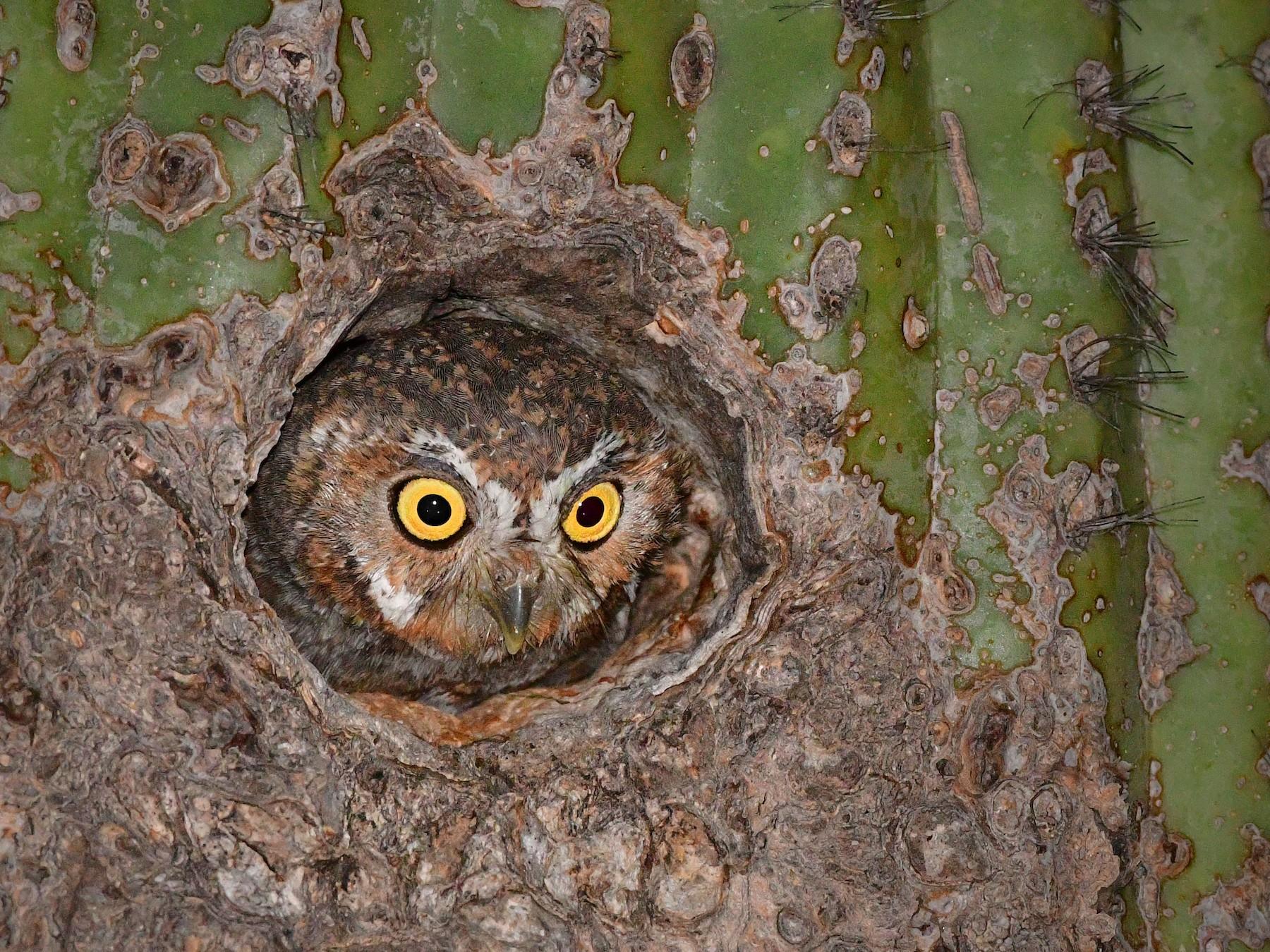 Elf Owl - Bryan Calk