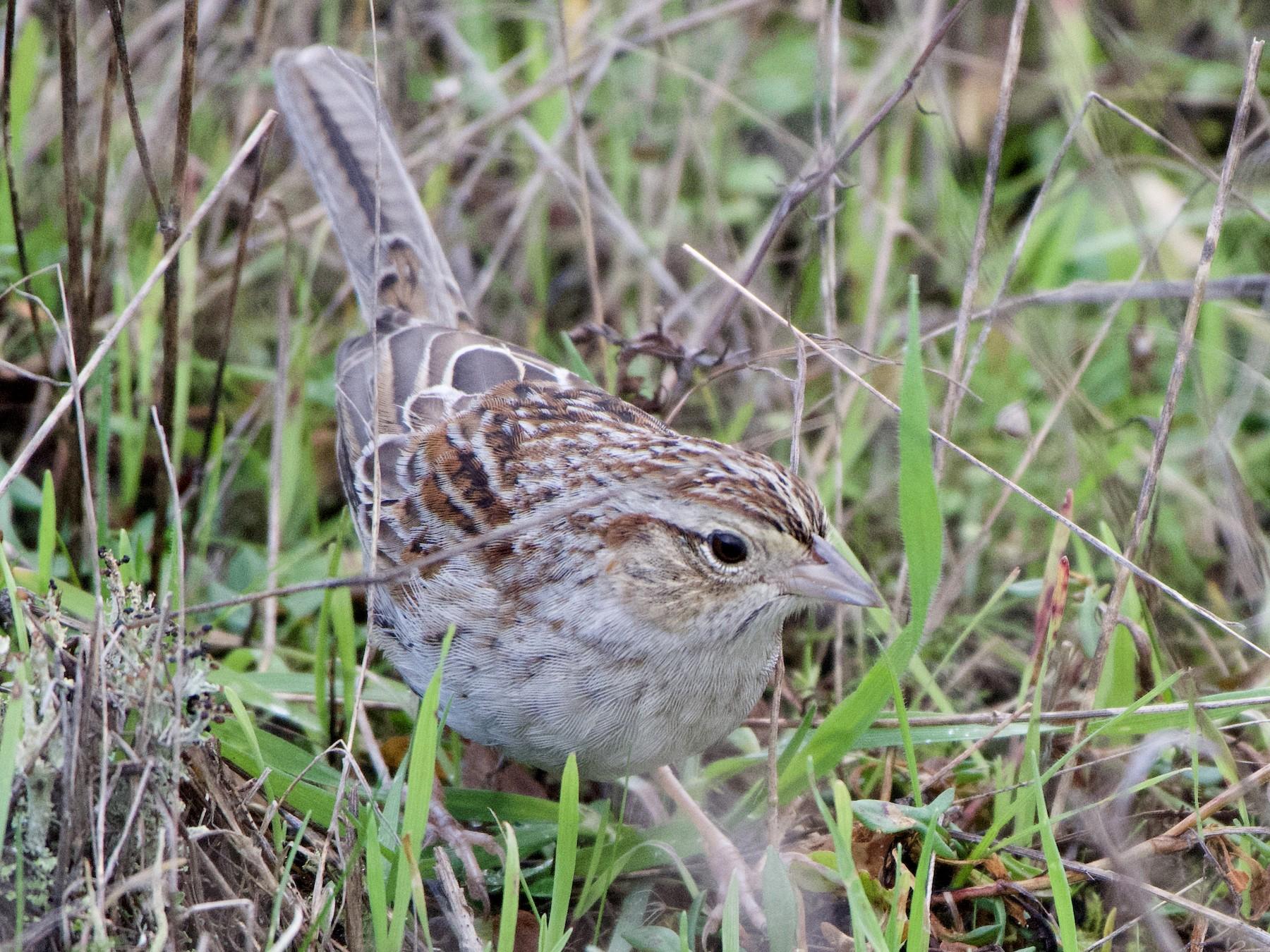 Cassin's Sparrow - Dario Taraborelli
