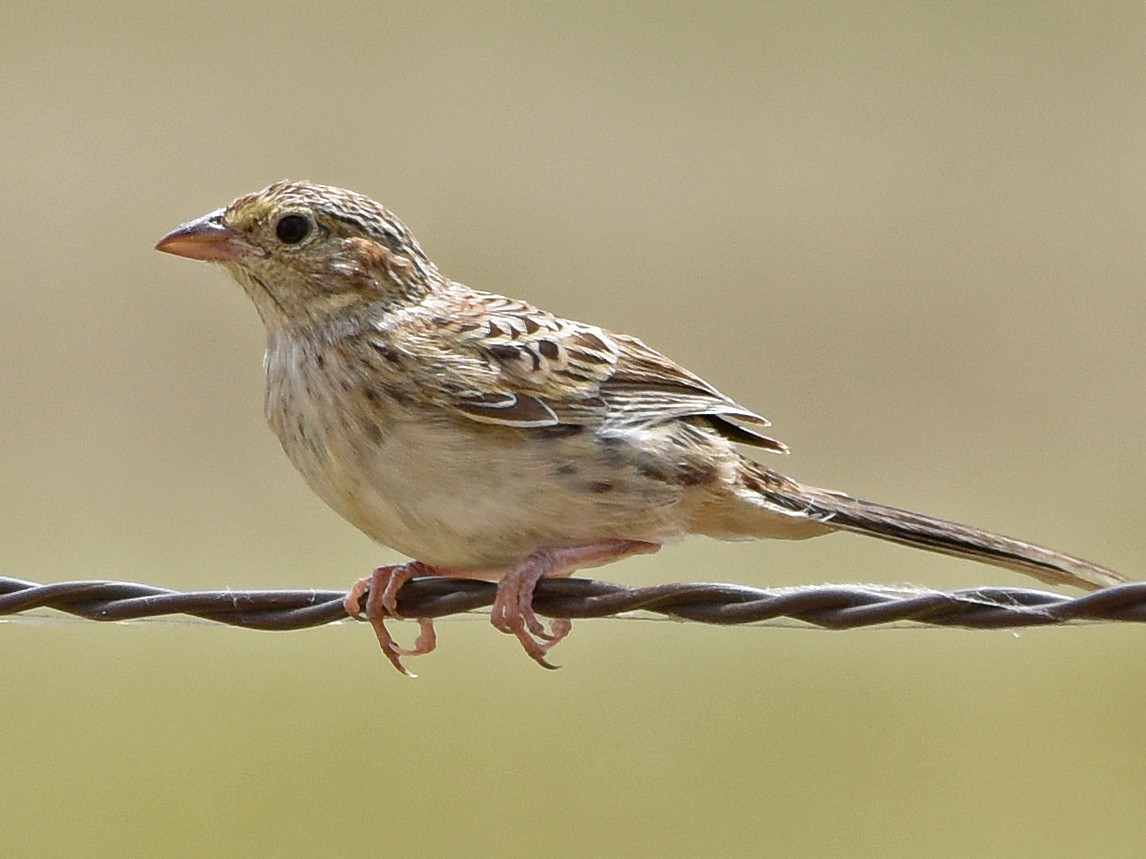 Cassin's Sparrow - Steven Mlodinow