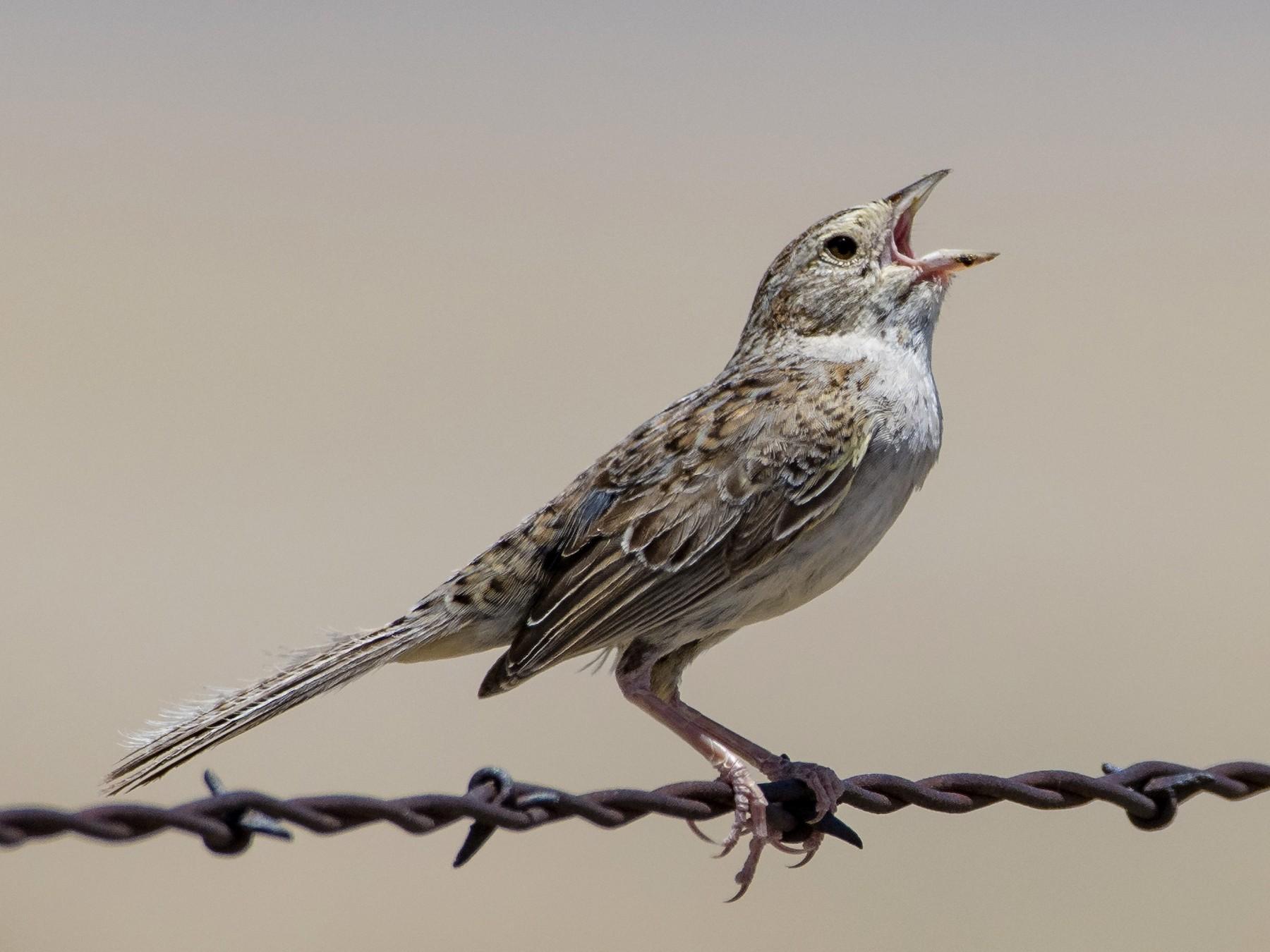Cassin's Sparrow - Bryan Calk