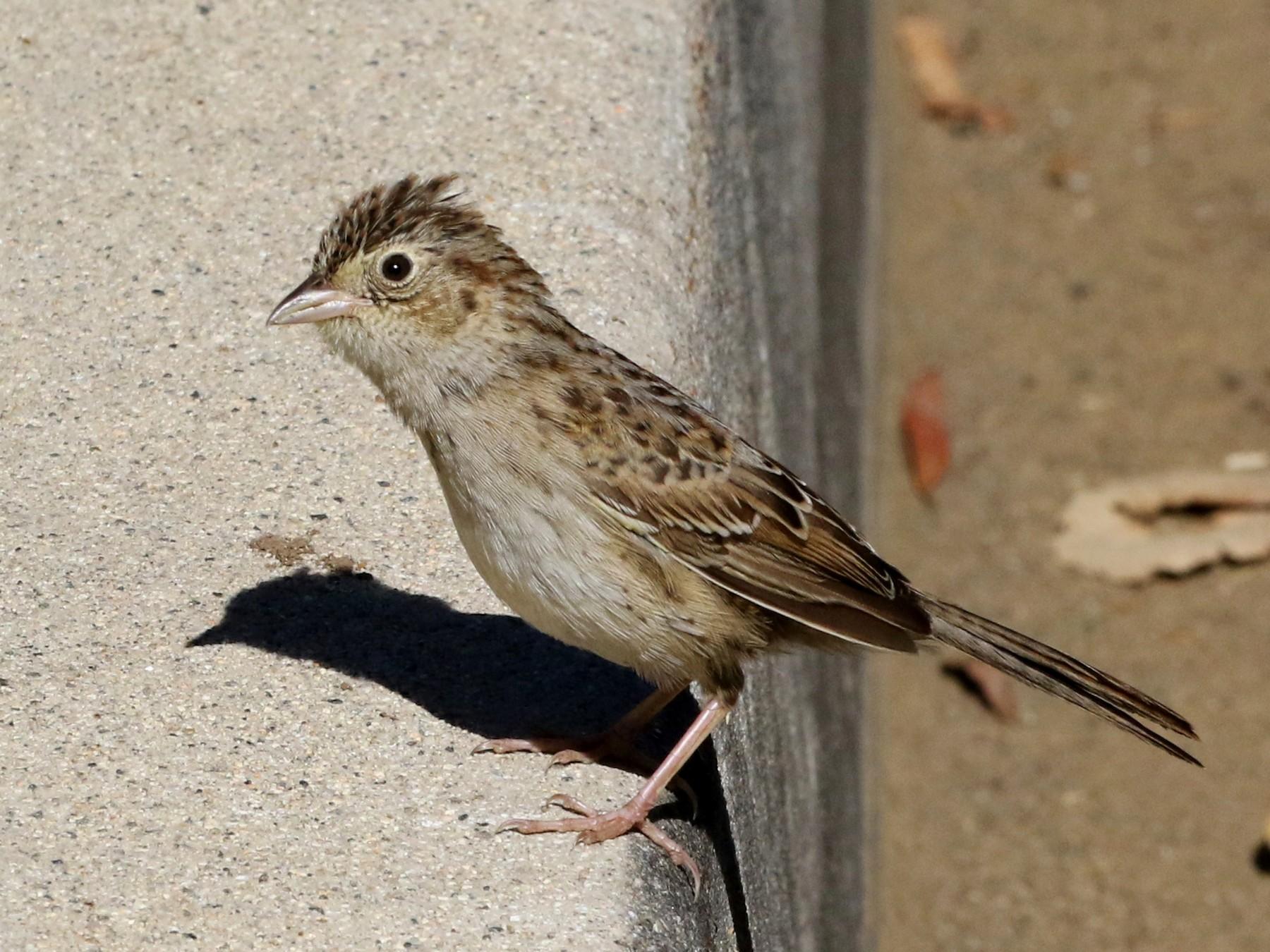 Cassin's Sparrow - Tom Benson