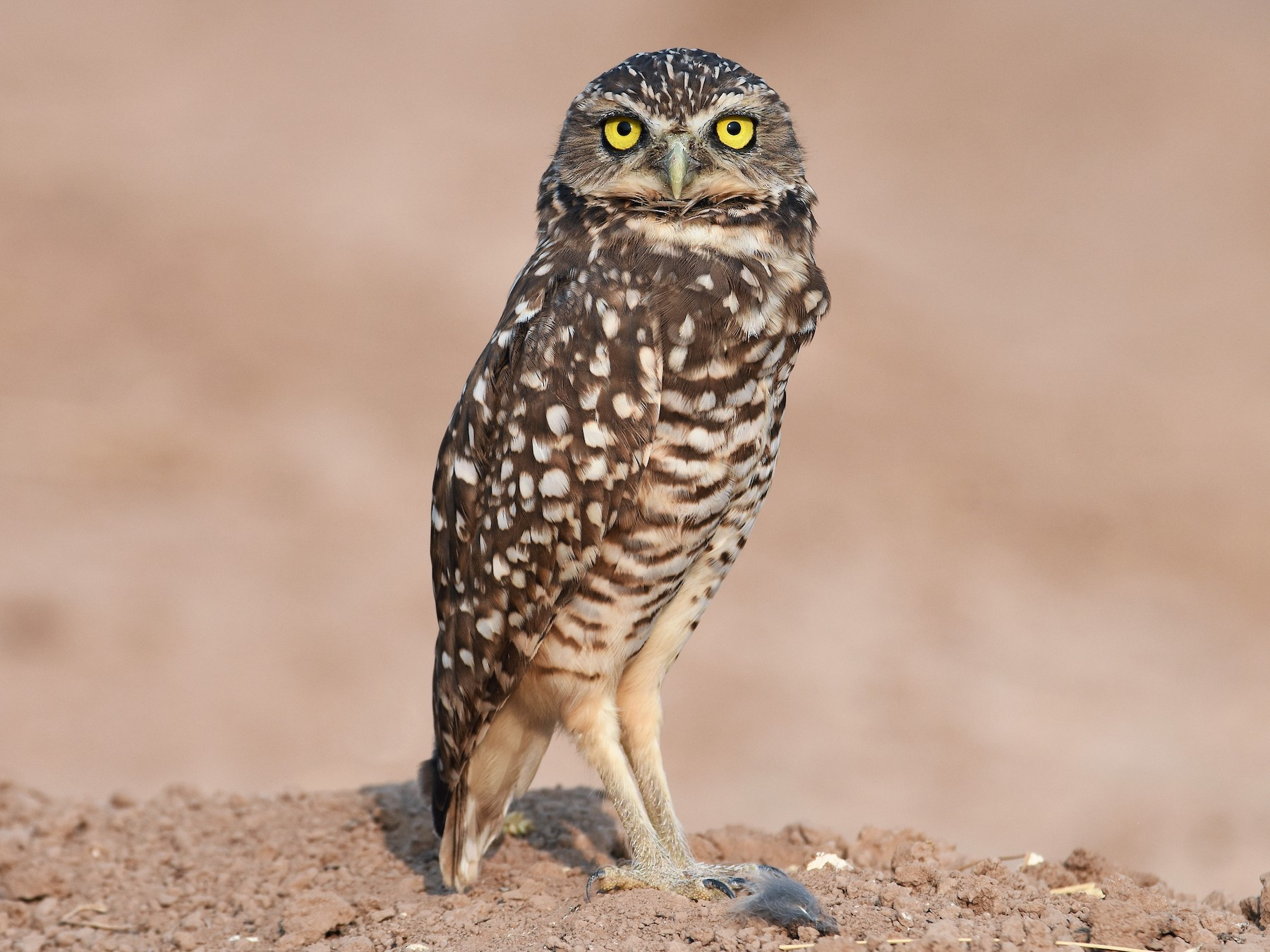 Burrowing Owl - Christopher Lindsey
