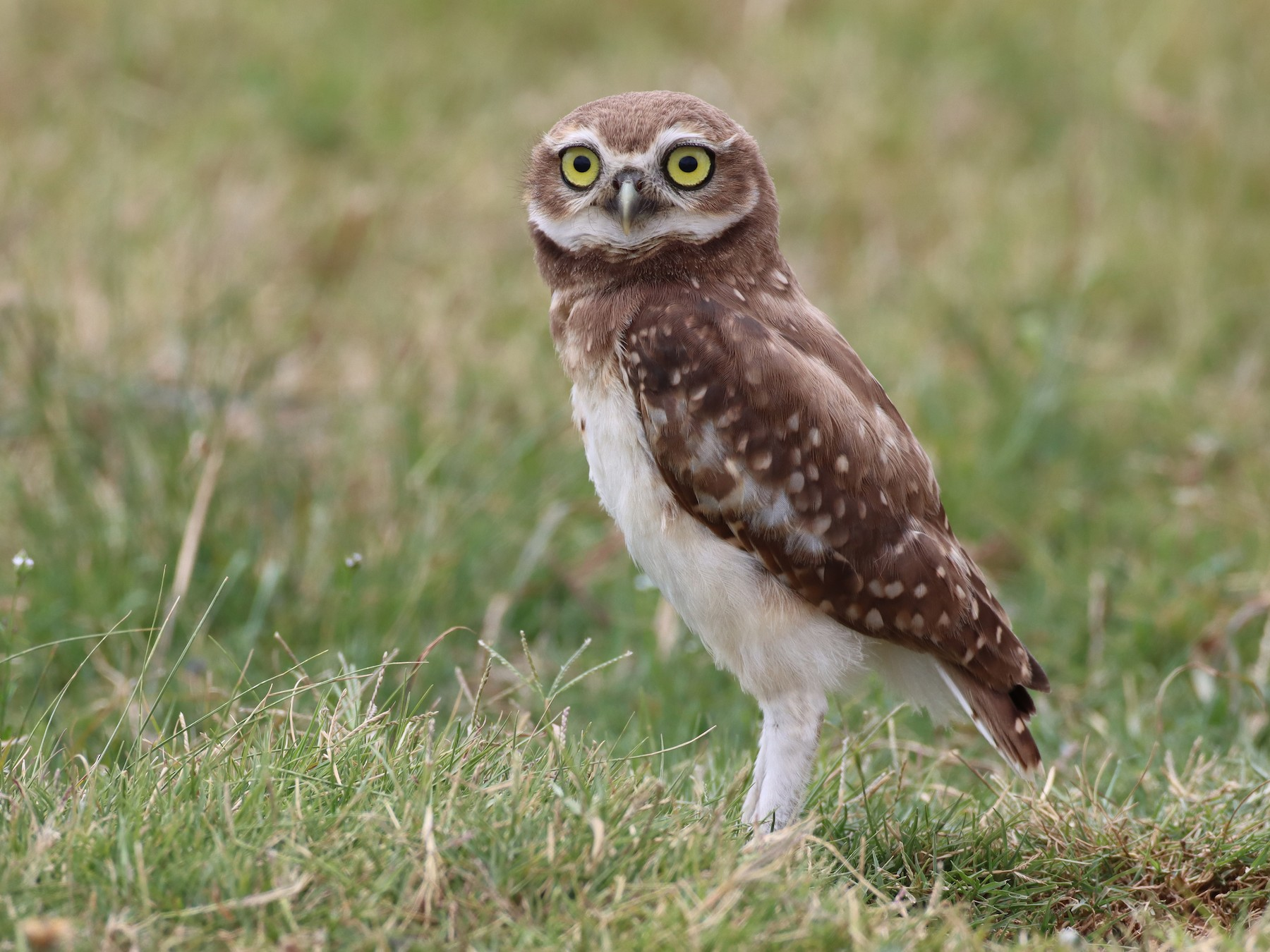 Burrowing Owl - Luke Seitz