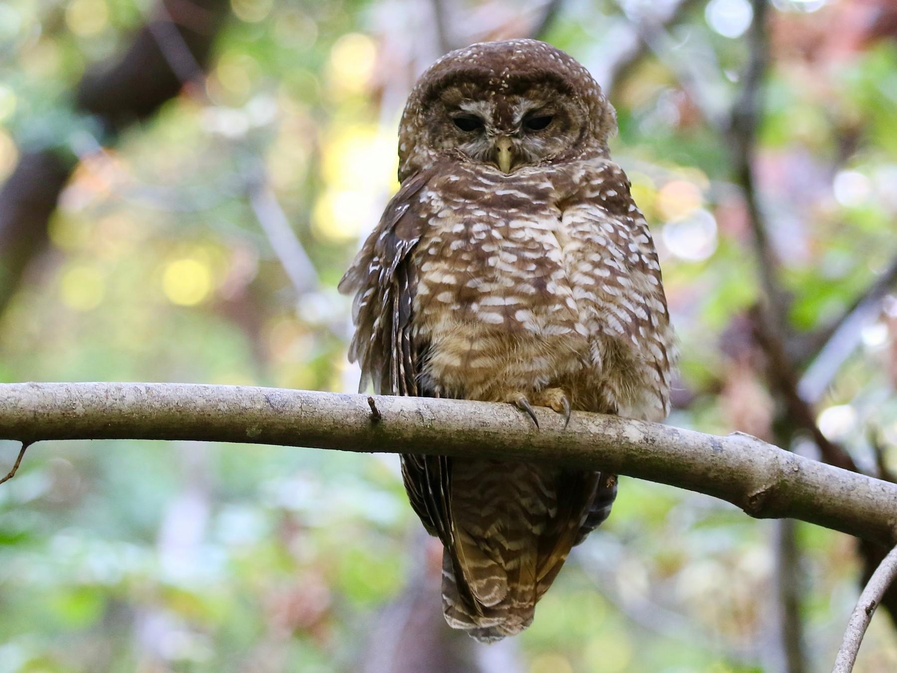 Spotted Owl - Mark Stephenson
