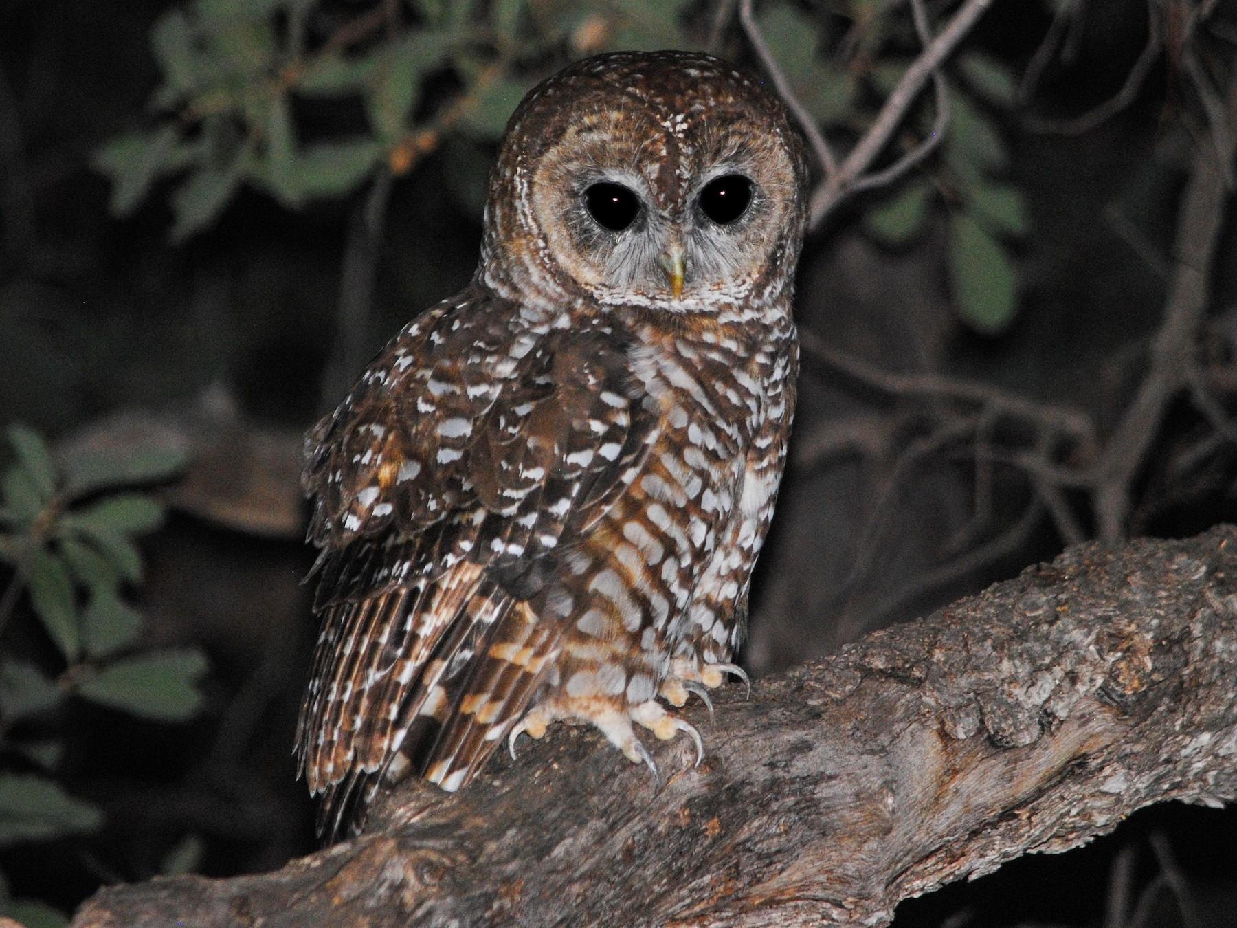Spotted Owl - Caleb Strand