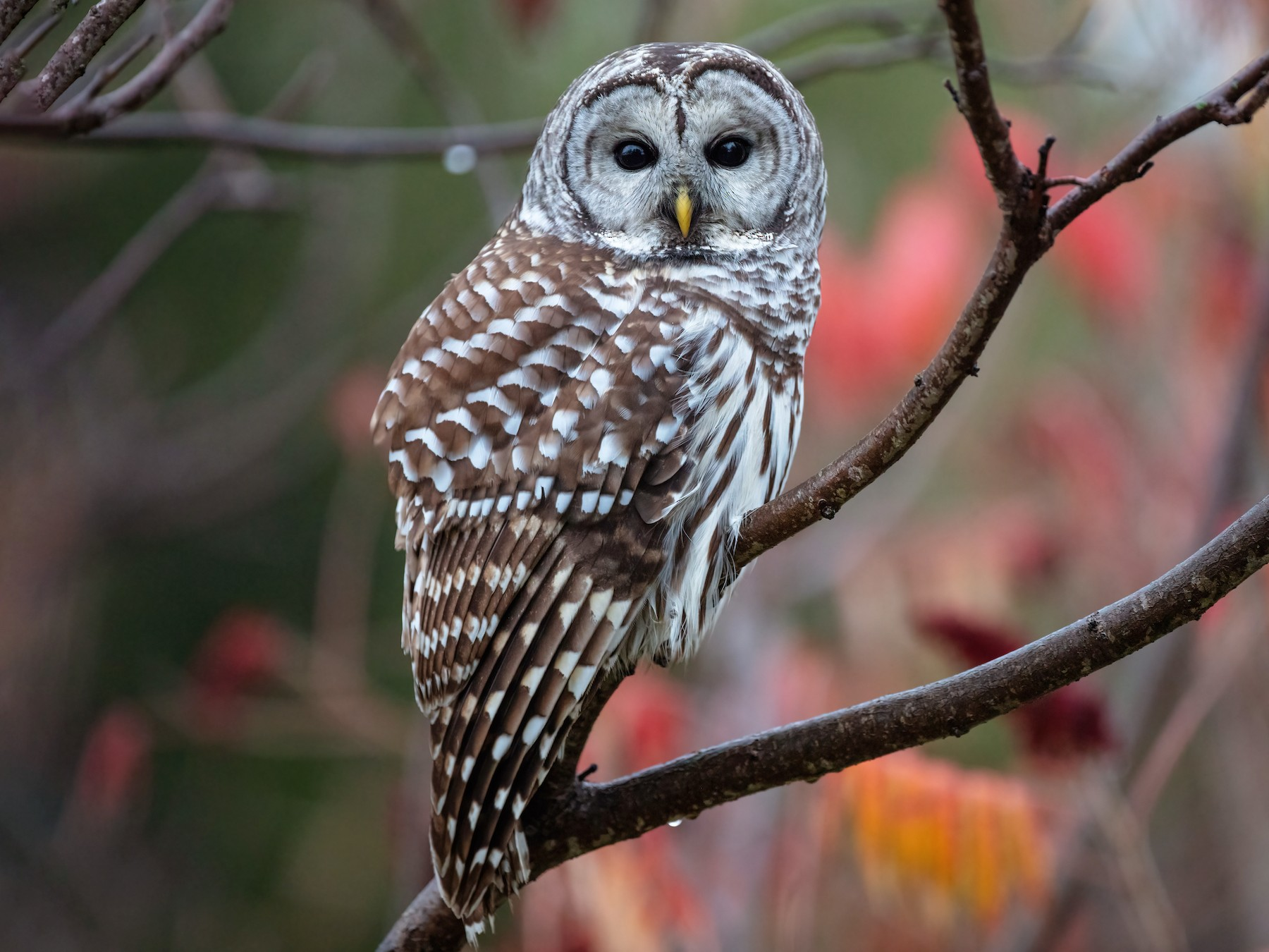 Barred Owl - Blair Dudeck