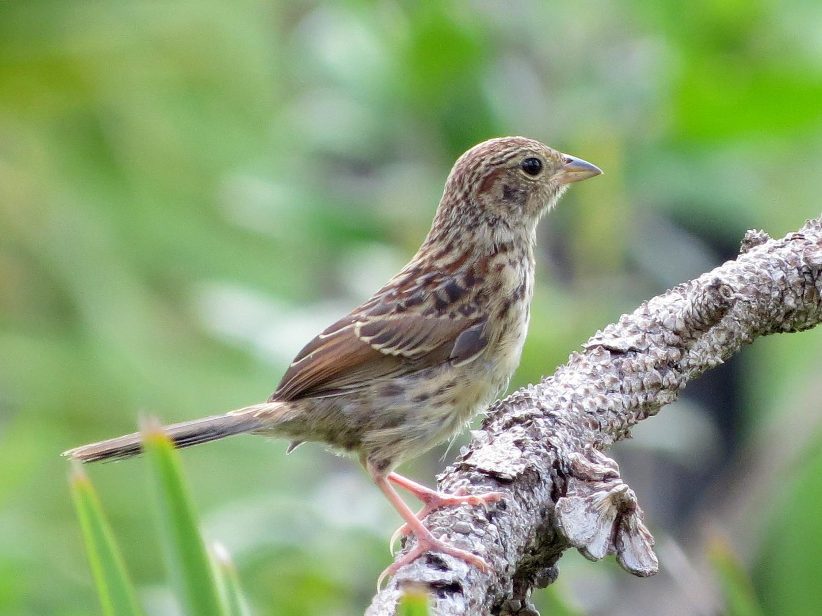 Bachman's Sparrow - Jessie Stuebner