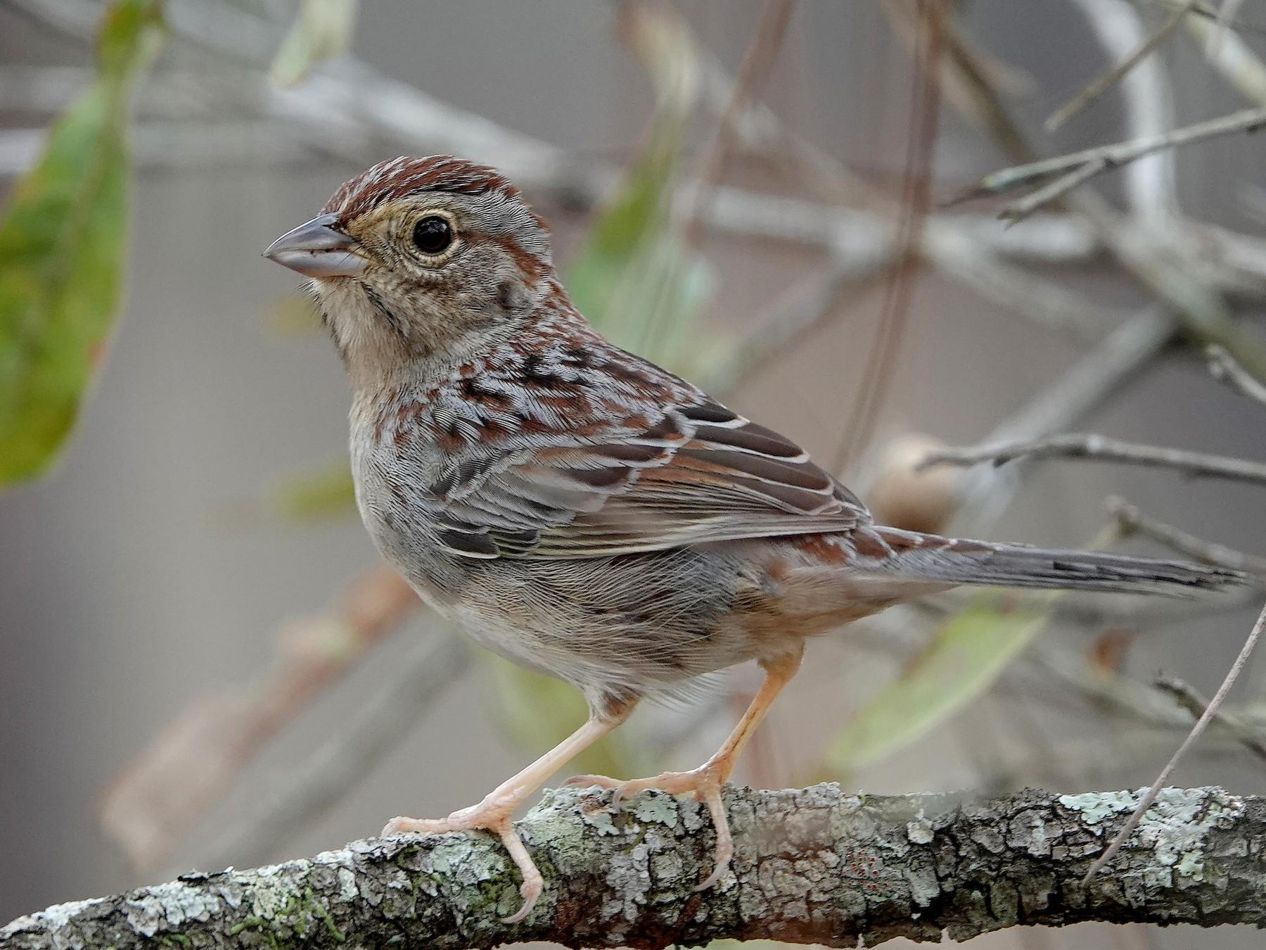 Bachman's Sparrow - Jane Mann