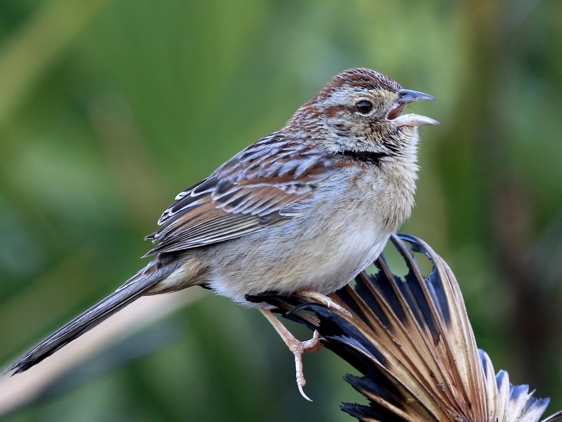 Bachman's Sparrow - Robert Sattelmeyer