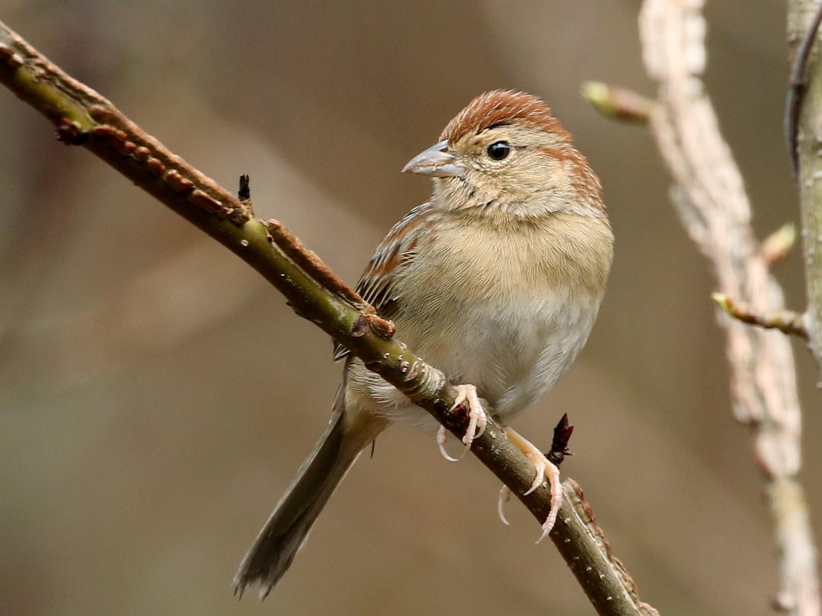 Bachman's Sparrow - Bob Friedrichs