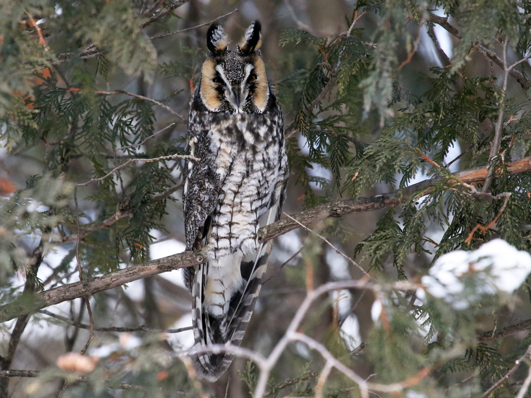Long-eared Owl - Michelle Martin