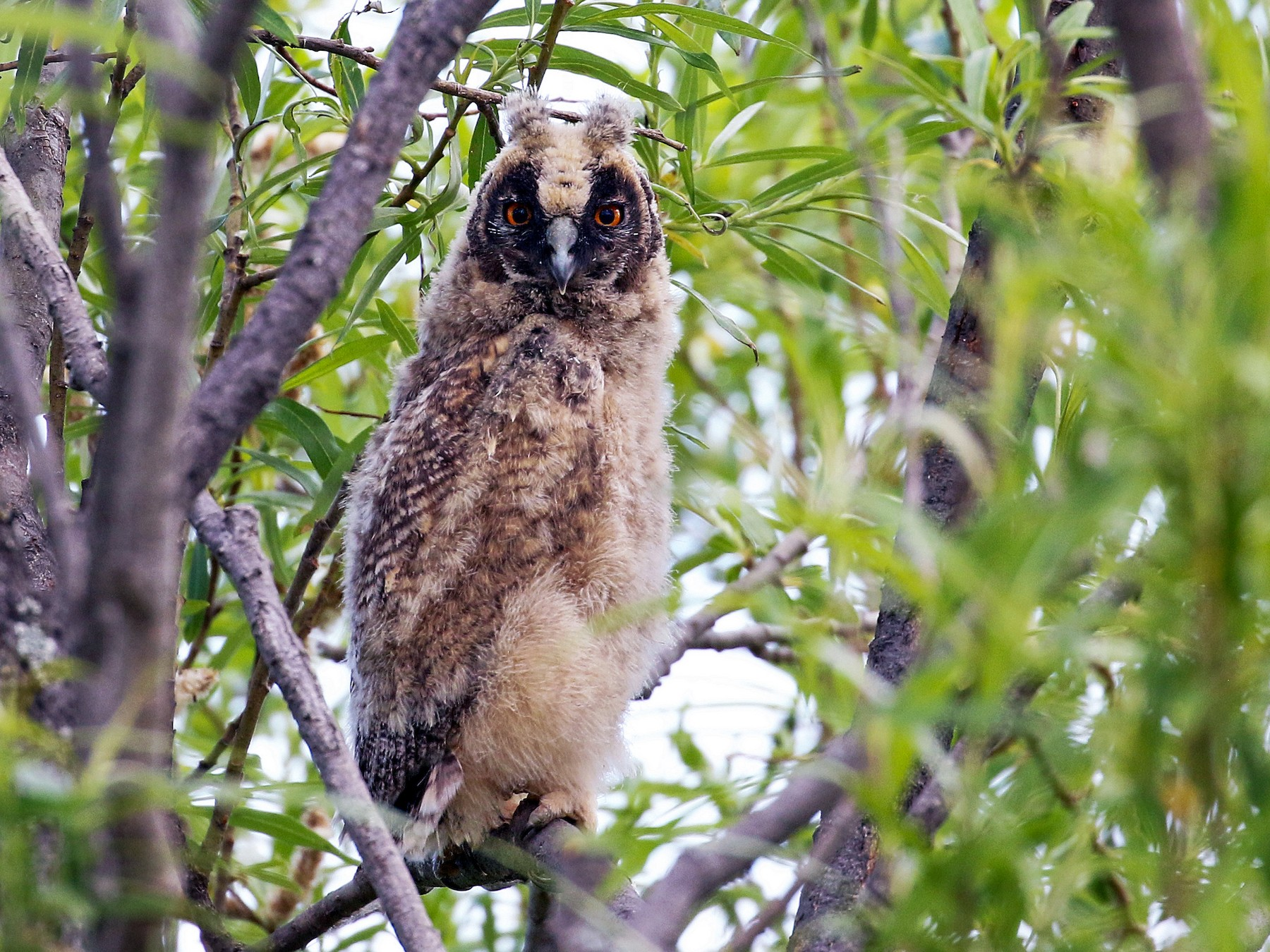 Long-eared Owl - Andrew Spencer