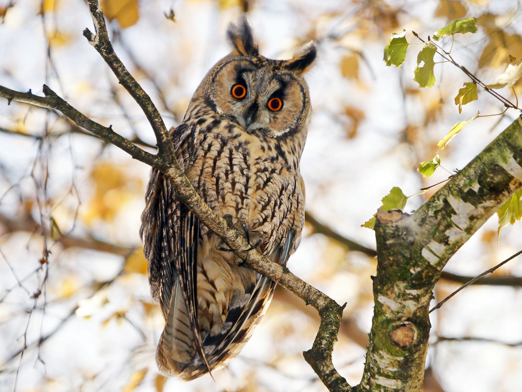 Long-eared Owl - H. Heerklotz