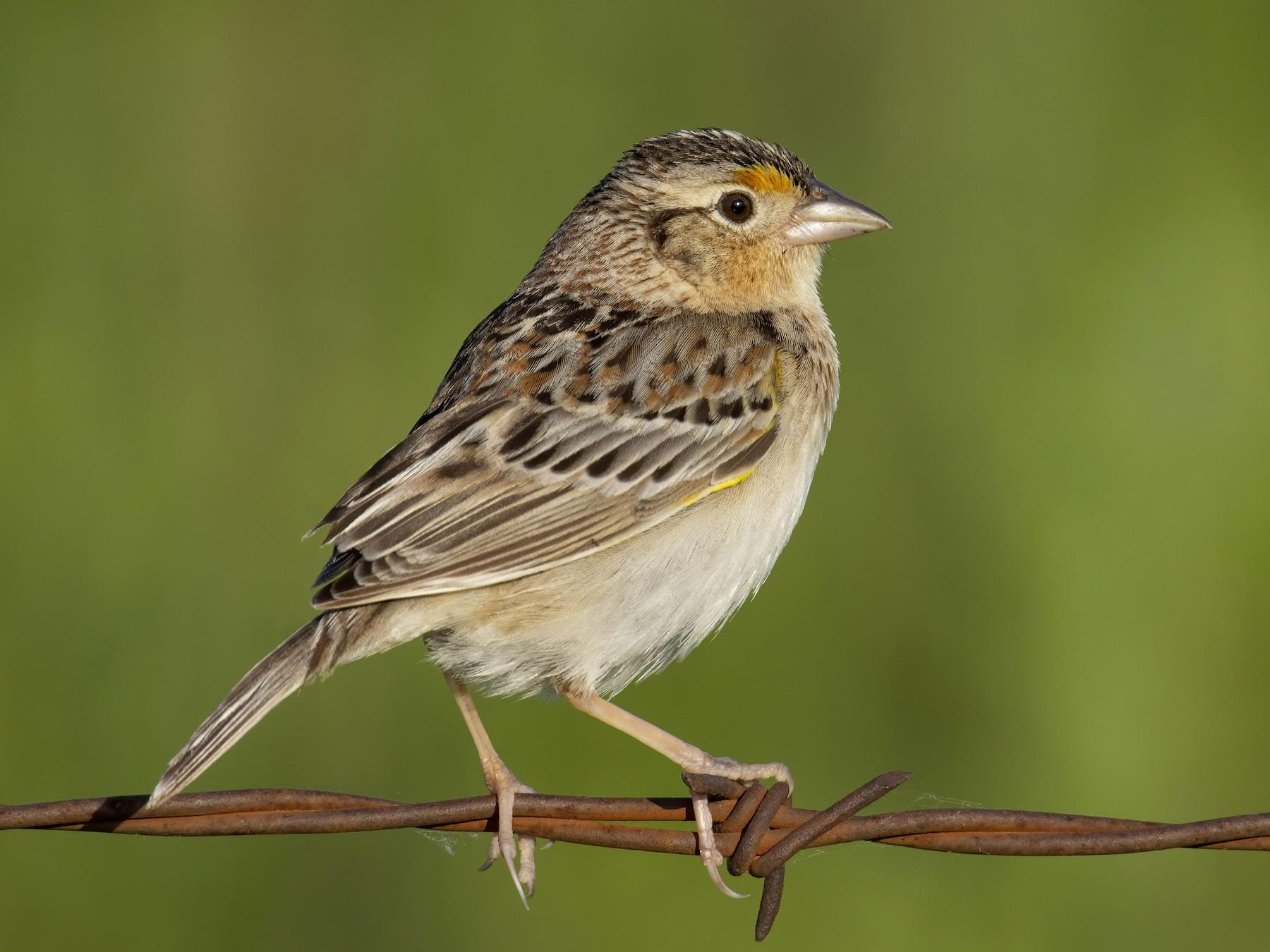 Grasshopper Sparrow - Marky Mutchler