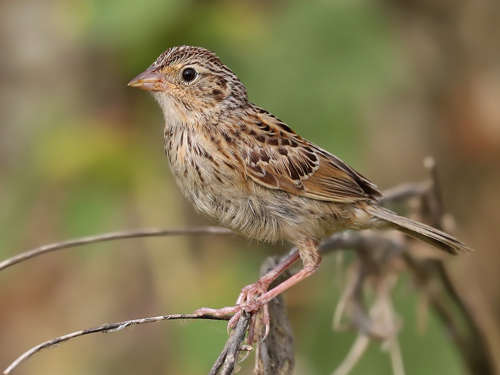 Grasshopper Sparrow - Matt Davis