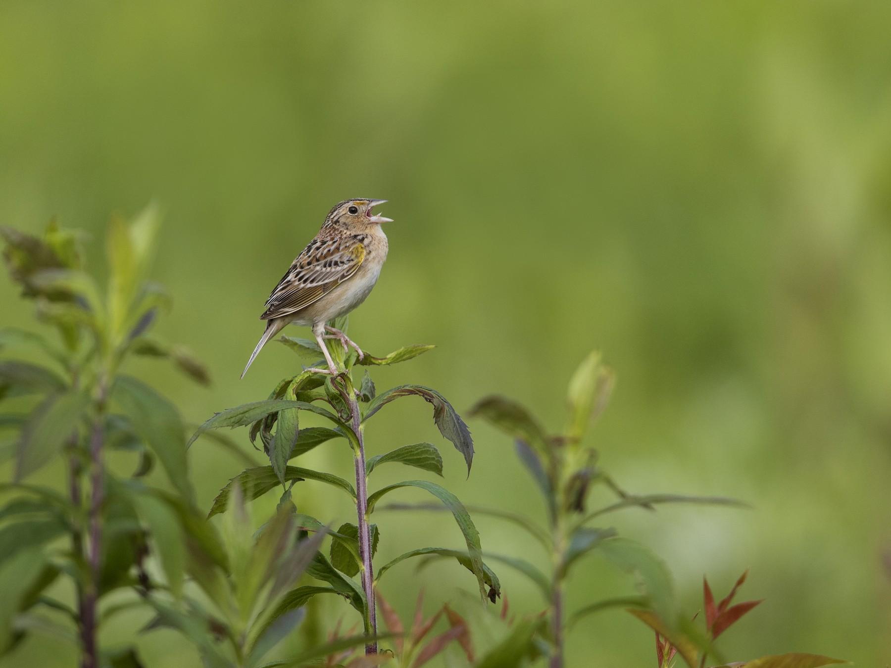 Grasshopper Sparrow - Michael Stubblefield